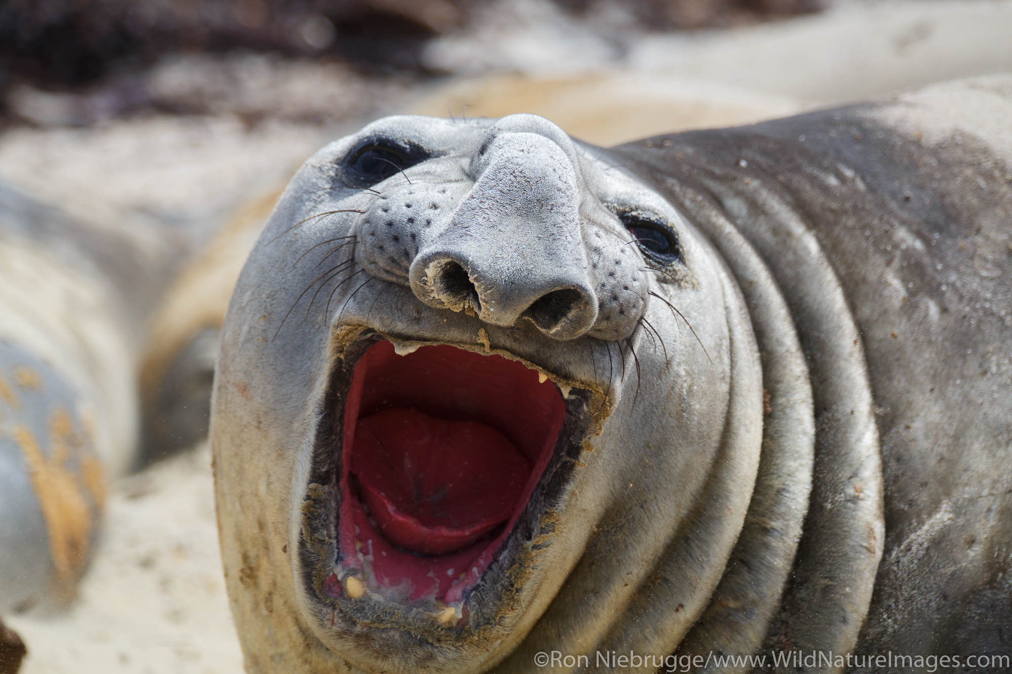 Southern Elephant Seals, Sea Lion Island, Falkland Islands.