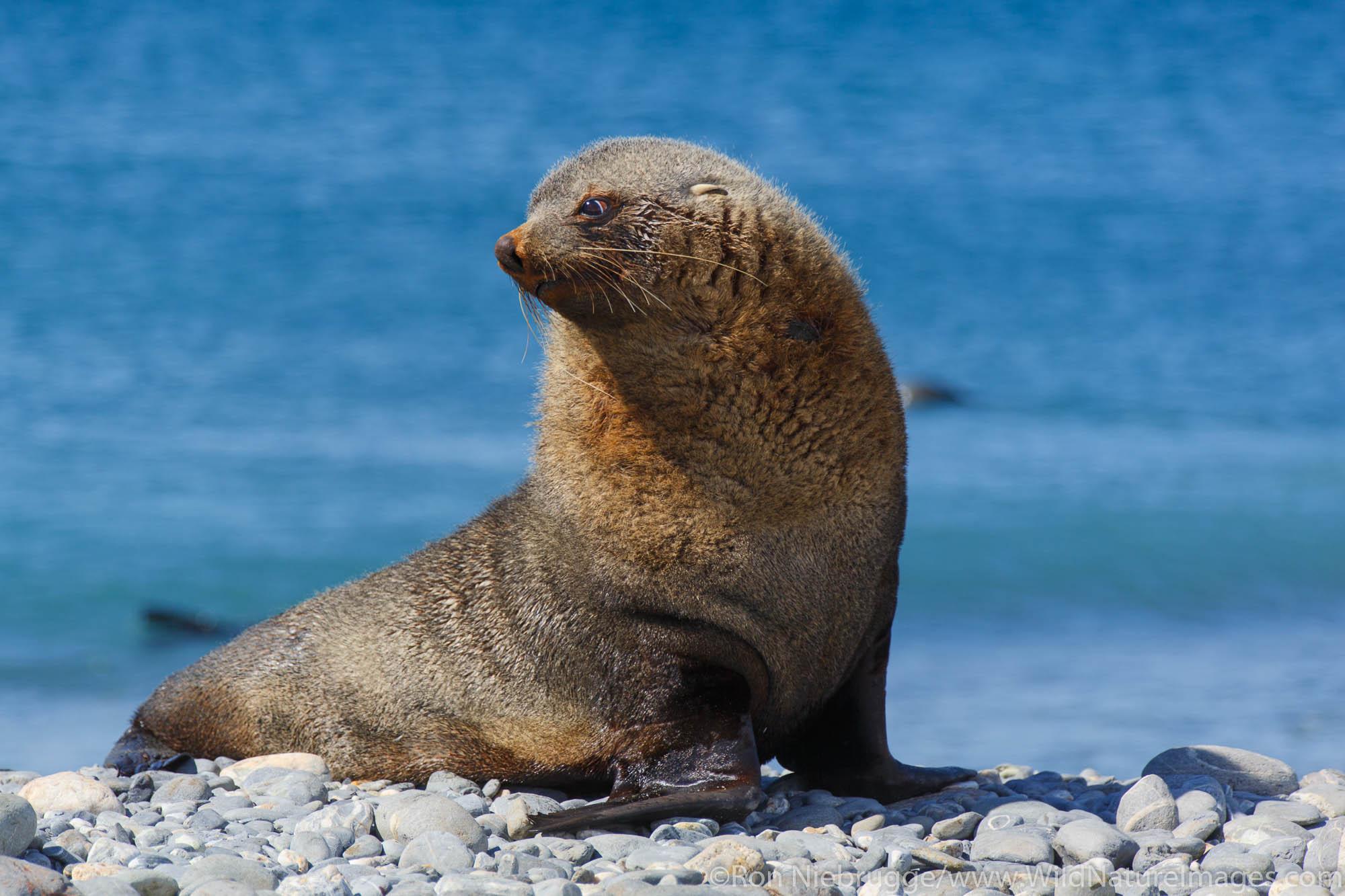 Antarctic fur seal (Arctocephalus gazella), Salisbury Plain, South Georgia, Antarctica.