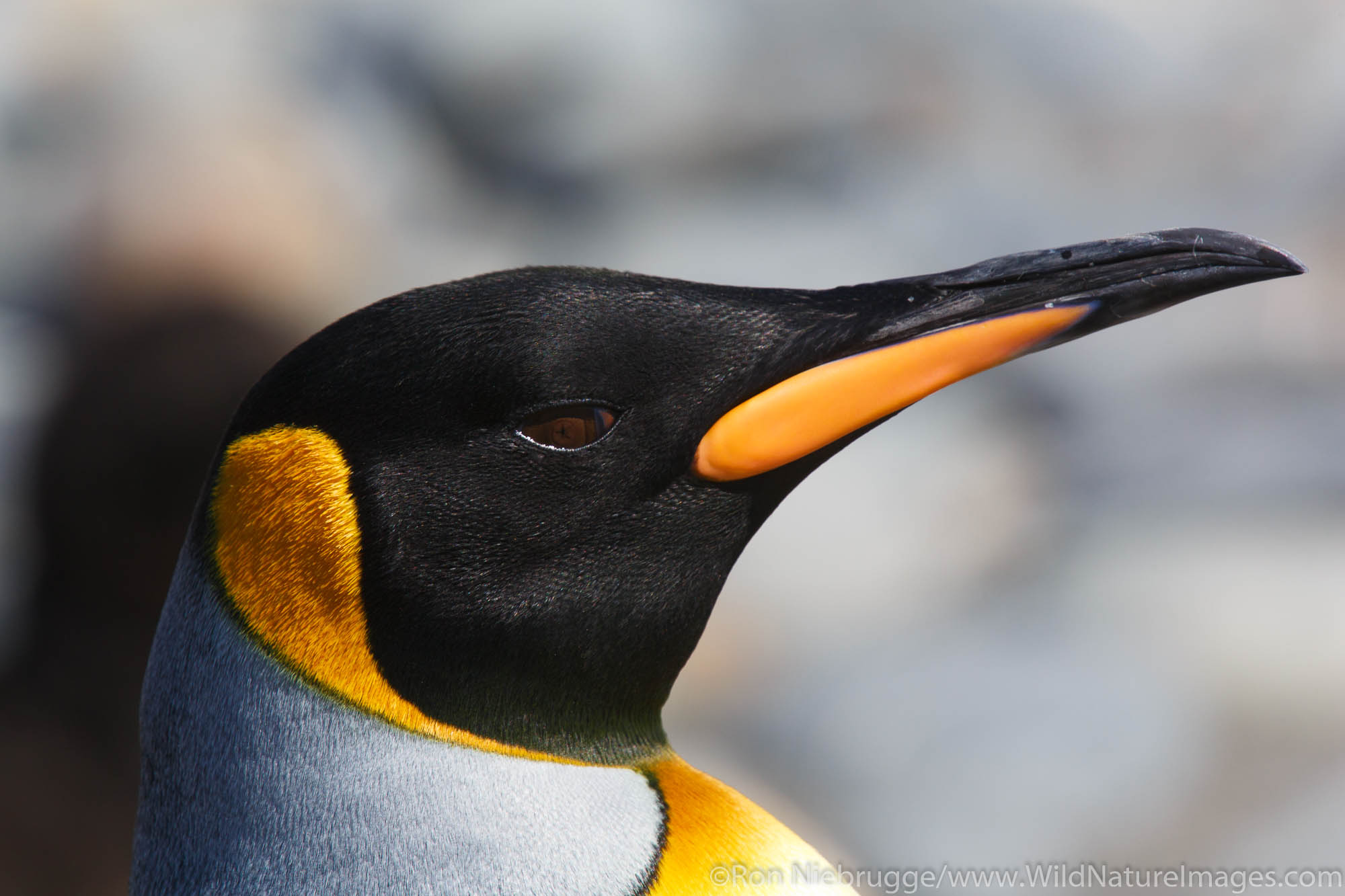 King penguin (Aptenodytes patagonicus) on the Salisbury Plain, South Georgia, Antarctica.