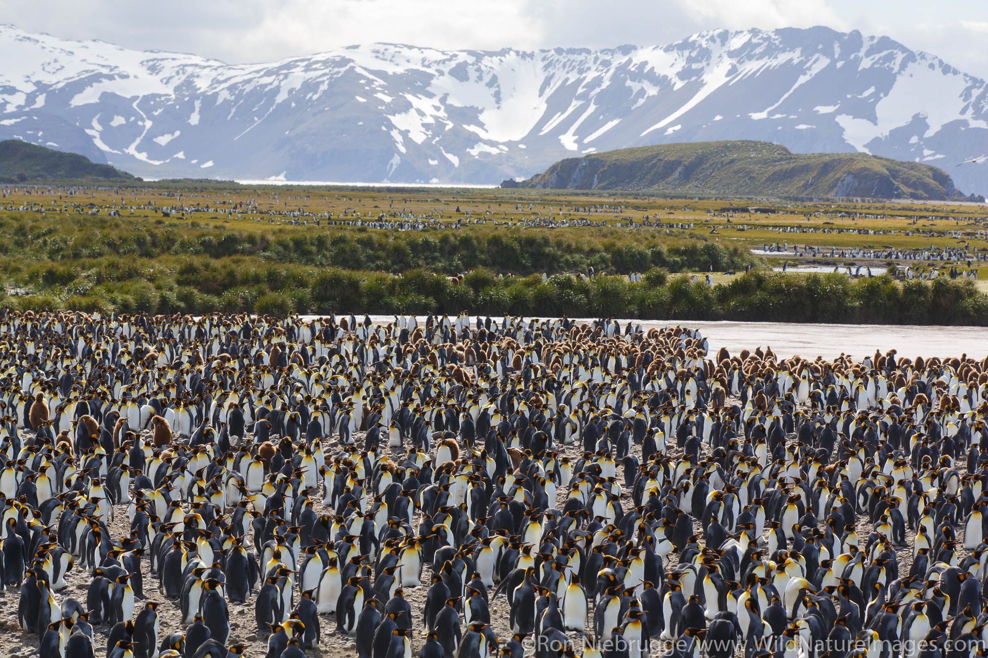 King penguins (Aptenodytes patagonicus) on the Salisbury Plain, South Georgia, Antarctica.