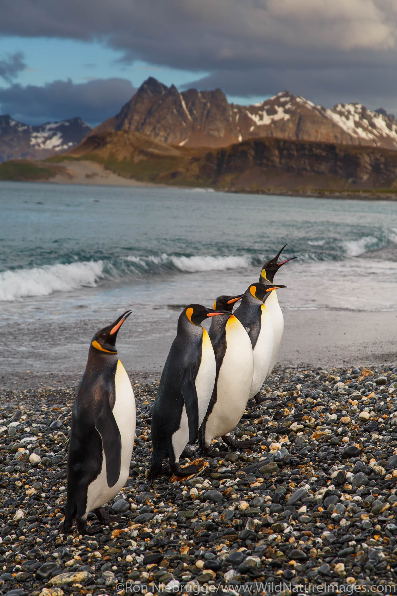 King penguins (Aptenodytes patagonicus) on the Salisbury Plain, South Georgia, Antarctica.