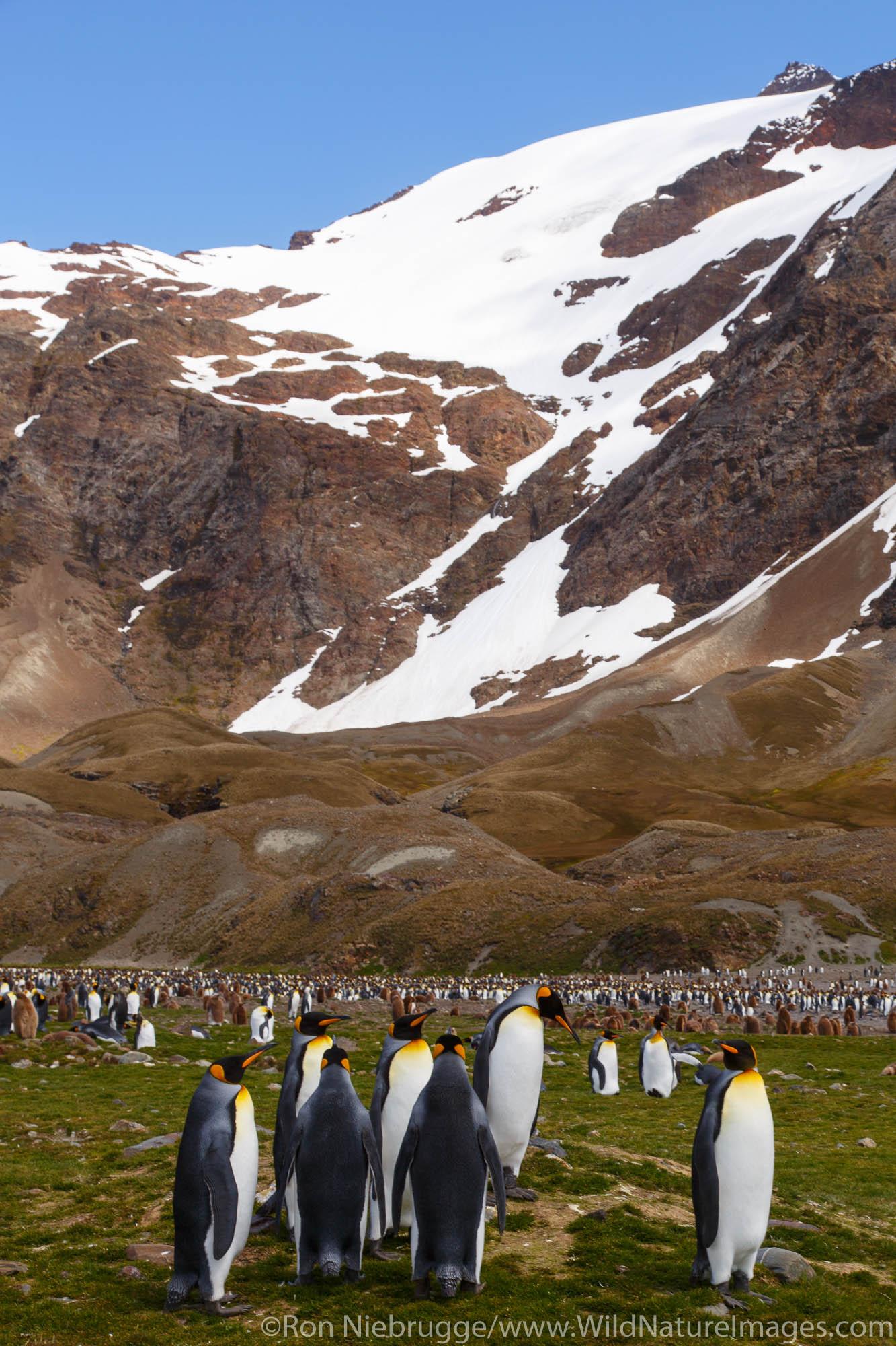 King penguins (Aptenodytes patagonicus), Fortuna Bay, South Georgia Island, Antarctica.
