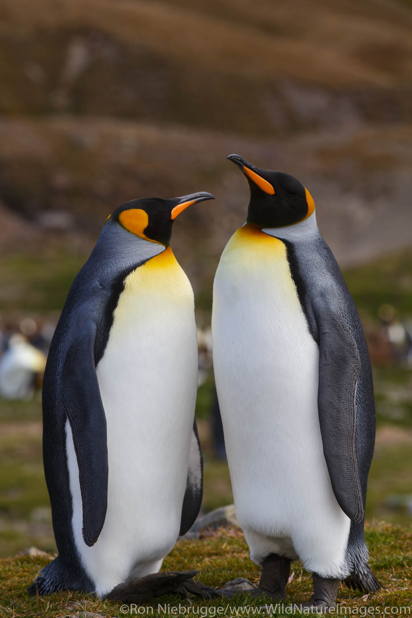 Antarctica, King Penguins, photo