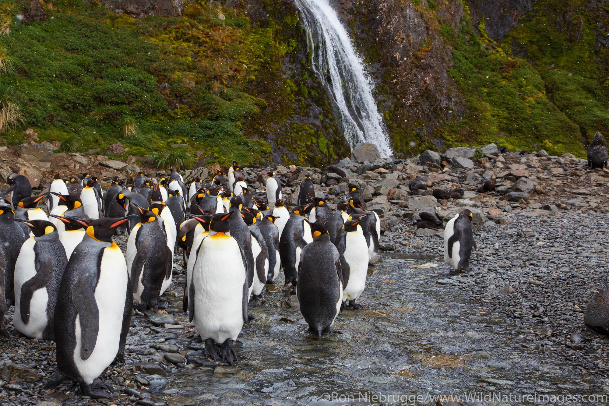 King penguins (Aptenodytes patagonicus), Hercules Bay, South Georgia, Antarctica.