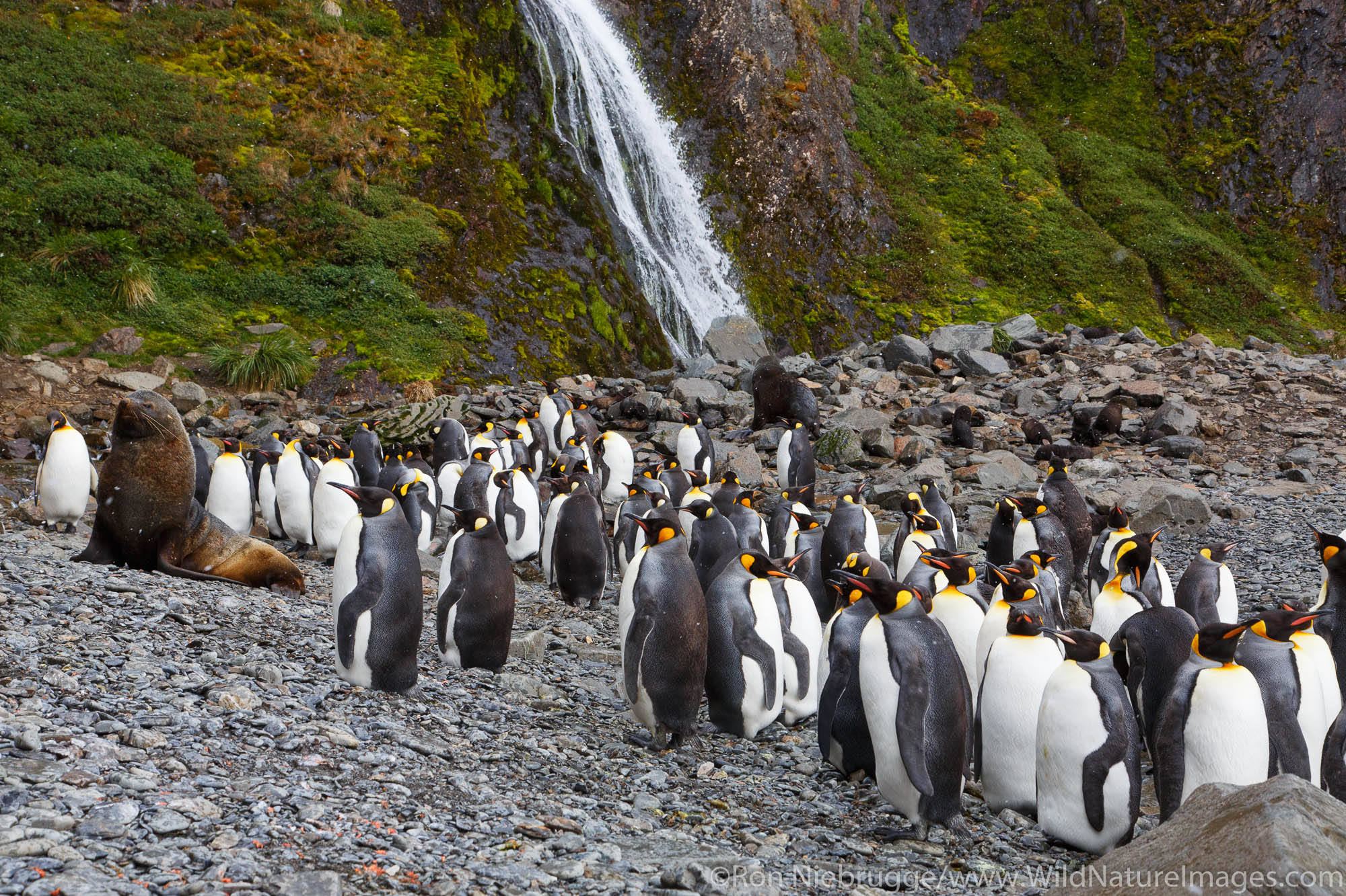 An Antarctic fur seal (Arctocephalus gazella) and macaroni penguins (Eudyptes chrysolophus), Hercules Bay, South Georgia, Antarctica...