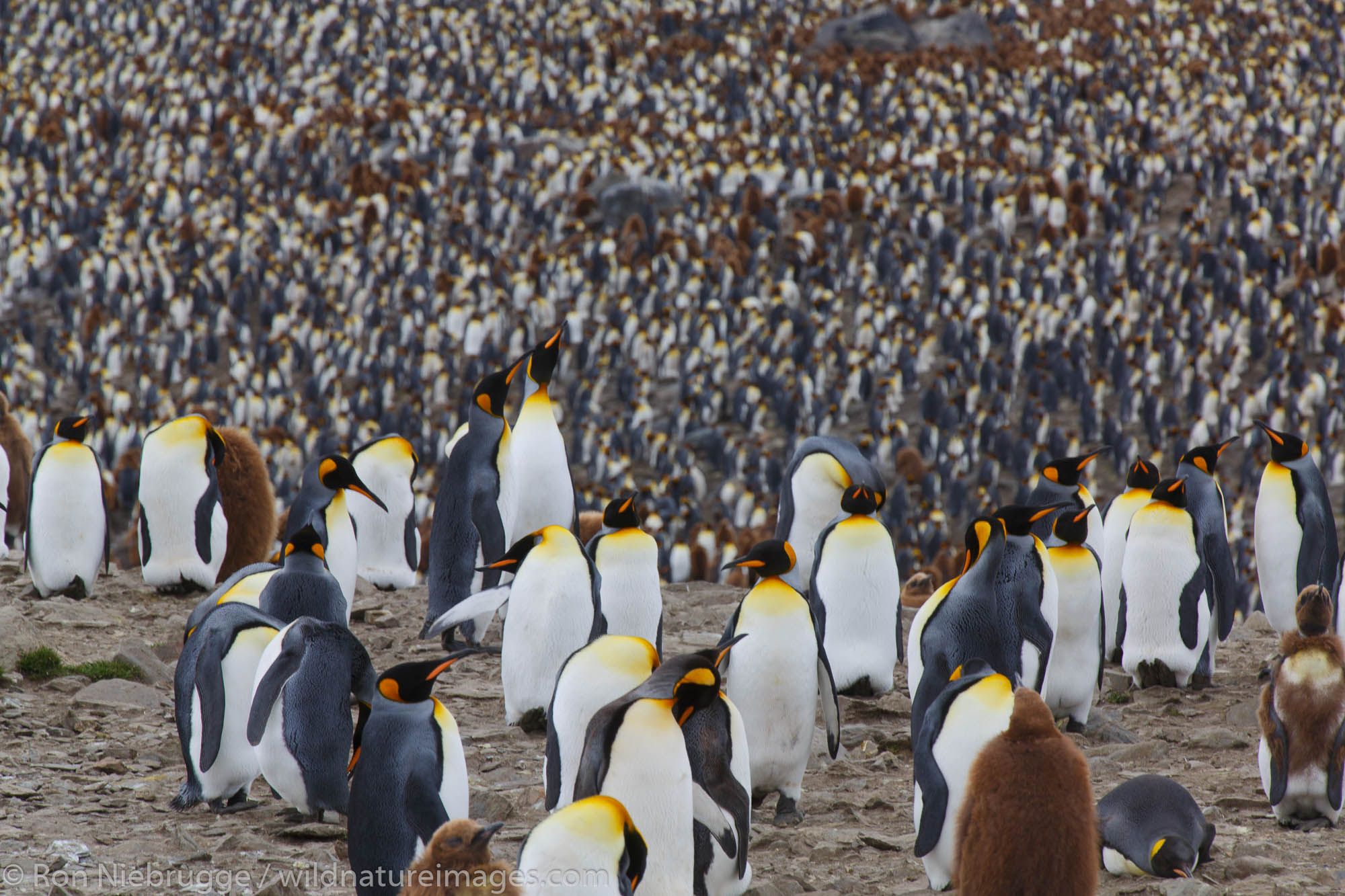 King penguins (Aptenodytes patagonicus), Saint Andrews Bay, South Georgia, Antarctica.