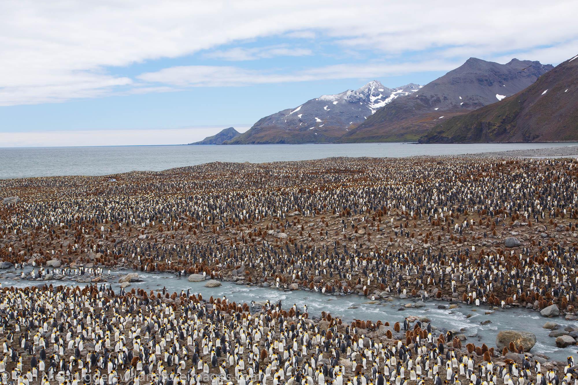 King penguins (Aptenodytes patagonicus), Saint Andrews Bay, South Georgia, Antarctica.