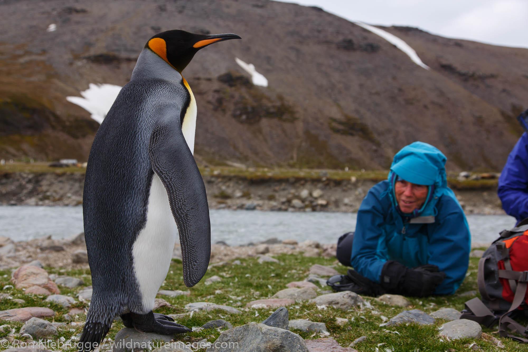 Visitors interact with King penguins (Aptenodytes patagonicus), Saint Andrews Bay, South Georgia, Antarctica.
