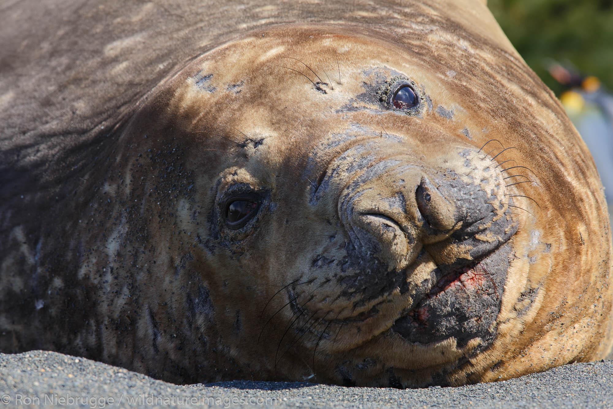 Southern elephant seal (Mirounga leonina), Gold Harbour, South Georgia, Antarctica.