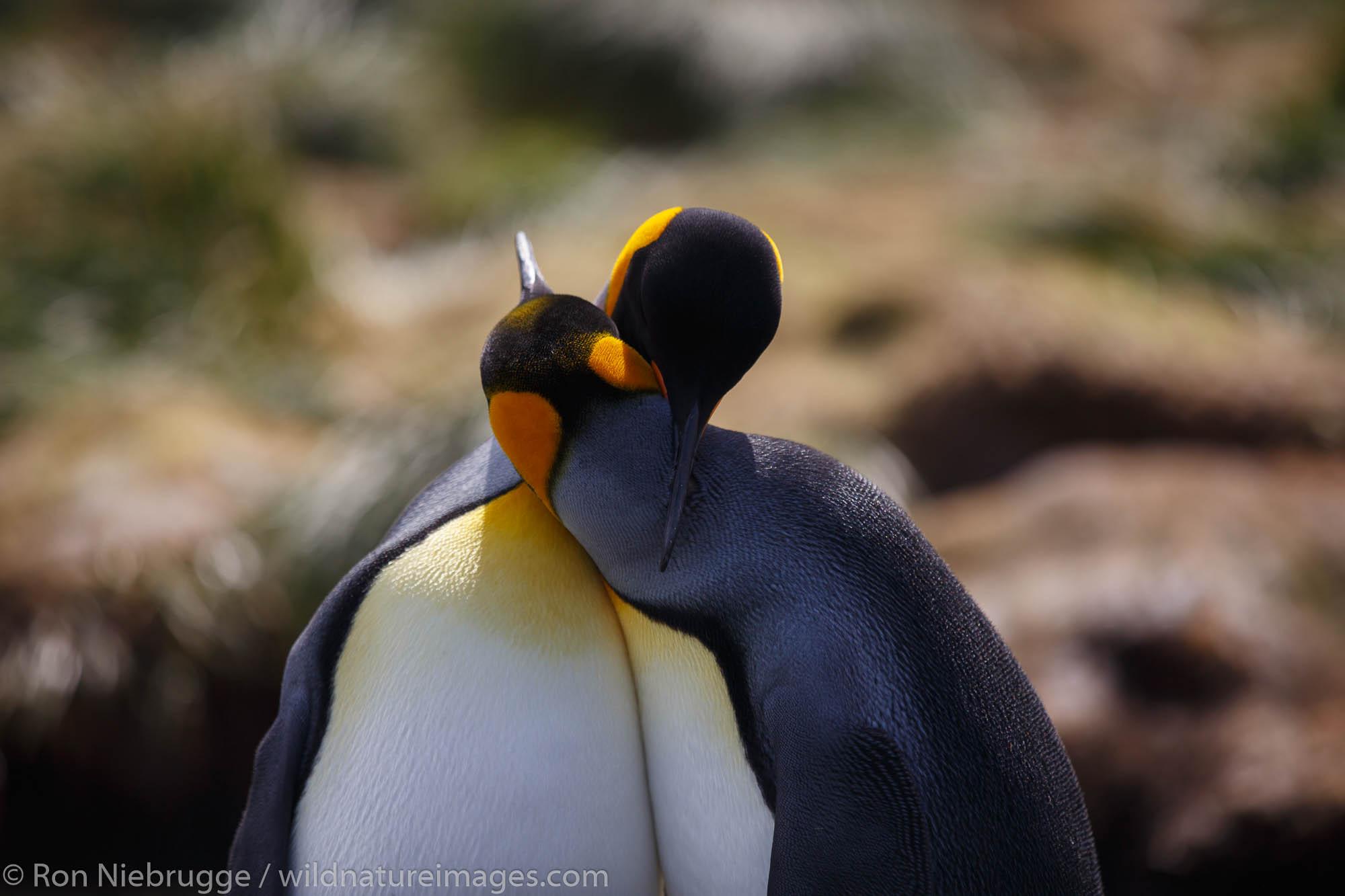 King penguins (Aptenodytes patagonicus), Gold Harbour, South Georgia, Antarctica.