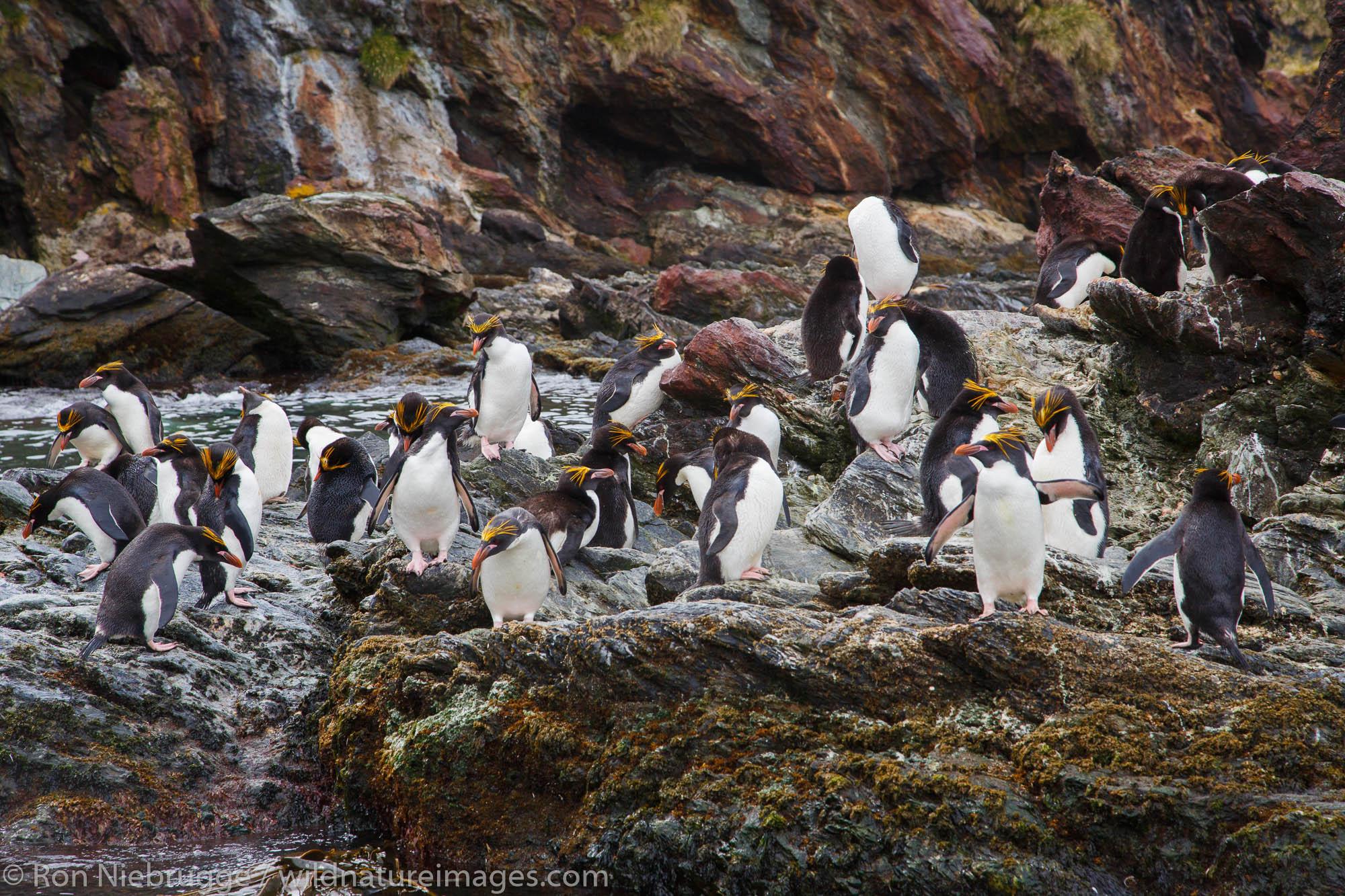 Macaroni penguins (Eudyptes chrysolophus), Cooper Bay, South Georgia, Antarctica.