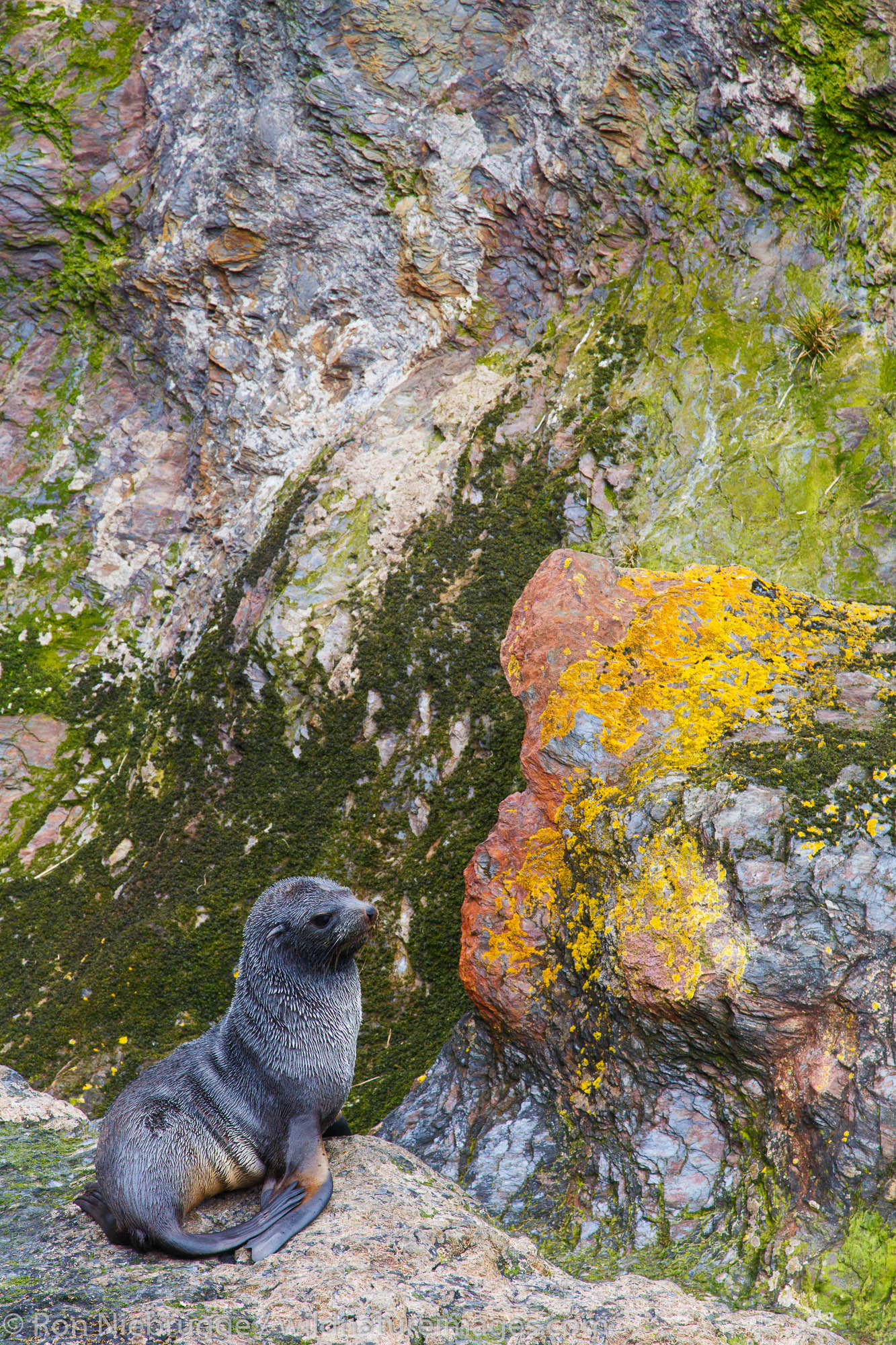 Antarctic fur seal (Arctocephalus gazella), Cooper Bay, South Georgia, Antarctica.