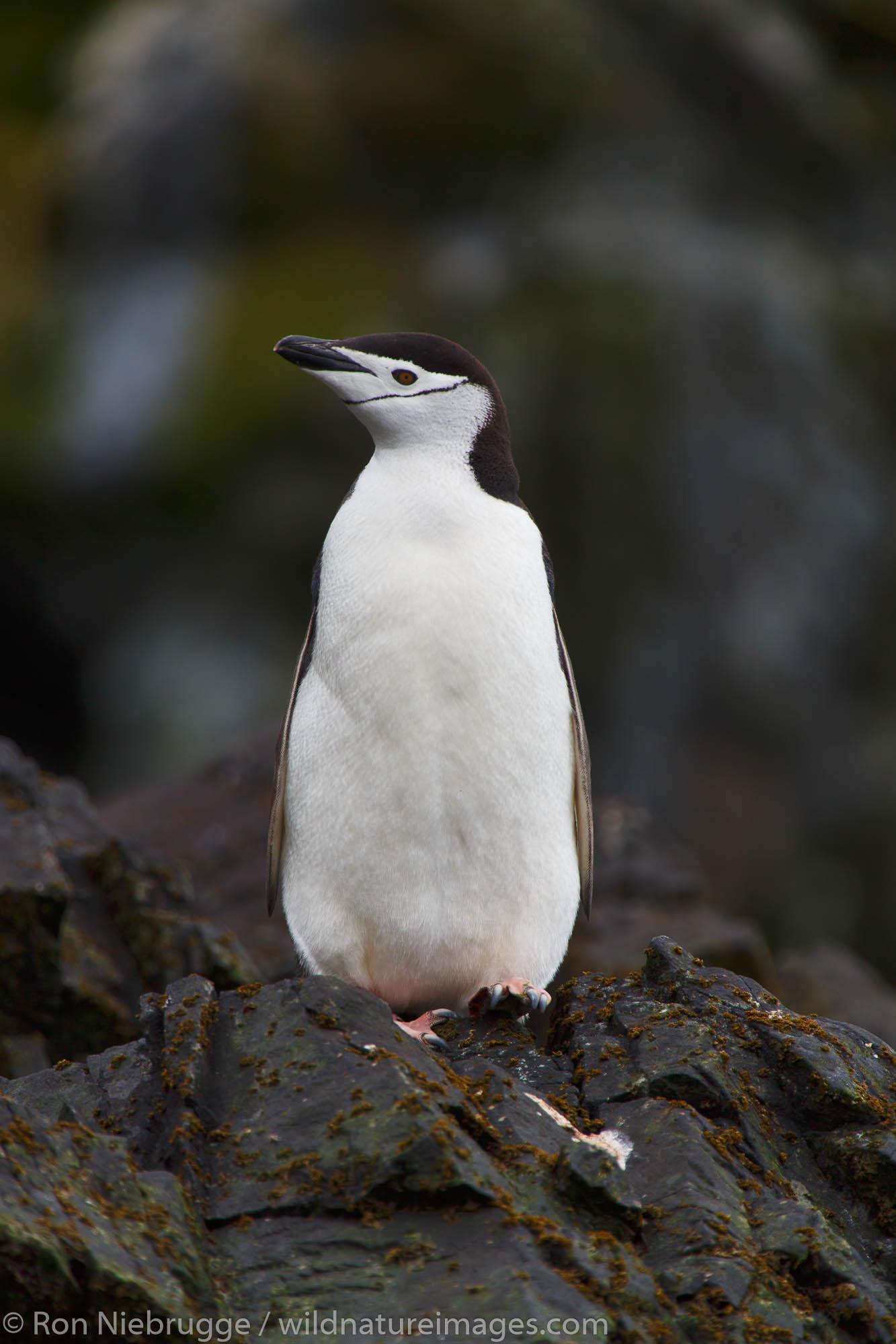 Chinstrap penguin (Pygoscelis antarctica), Cooper Bay, South Georgia, Antarctica.