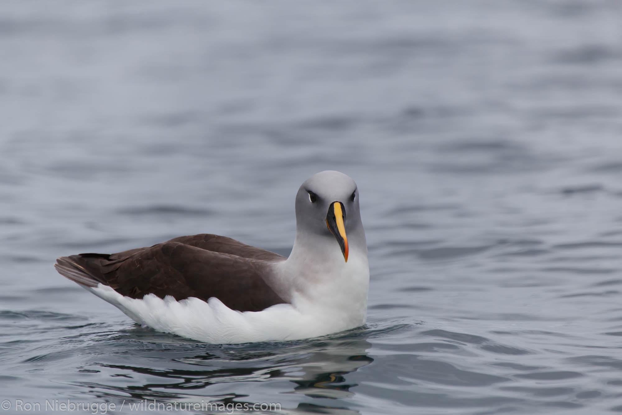 Grey-headed albatross (Thalassarche chrysostoma), Cooper Bay, South Georgia, Antarctica.
