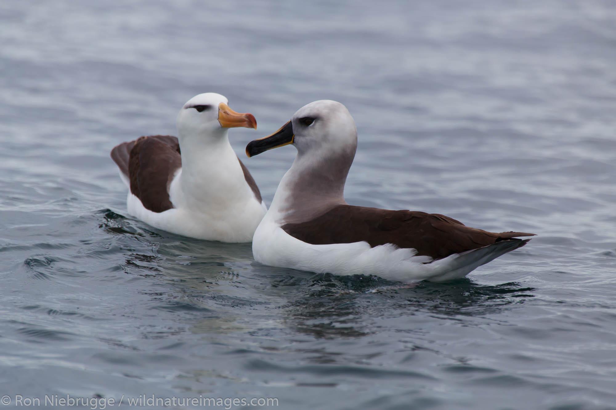 Black-browed albatross (Thalassarche melanophrys) and a grey-headed albatross (Thalassarche chrysostoma), Cooper Bay, South Georgia...