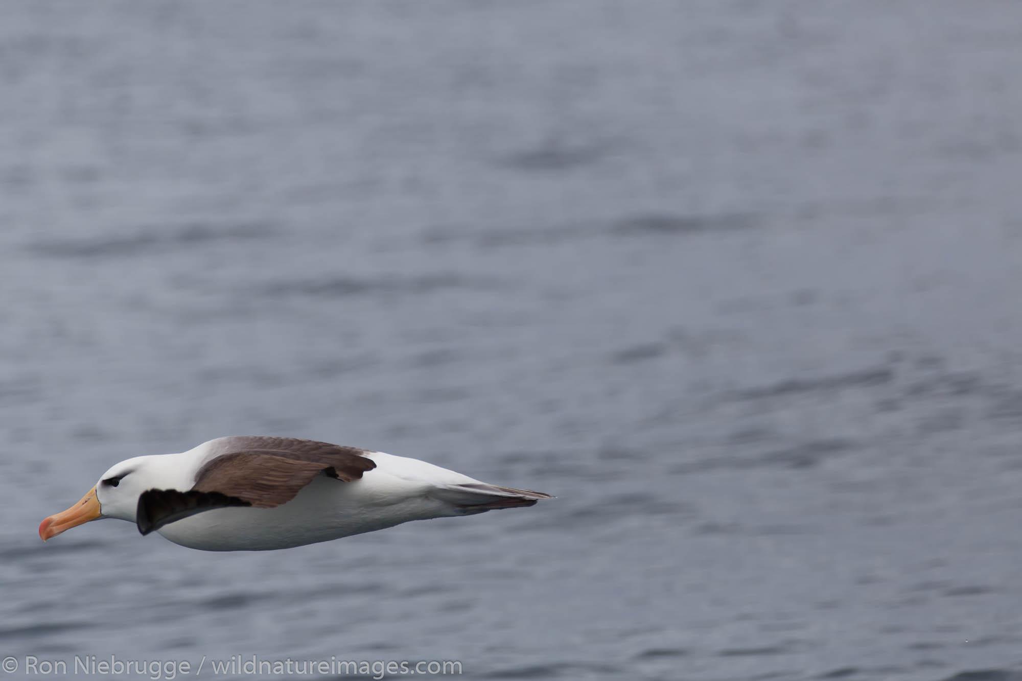 Black-browed albatross (Thalassarche melanophrys)Cooper Bay, South Georgia, Antarctica.