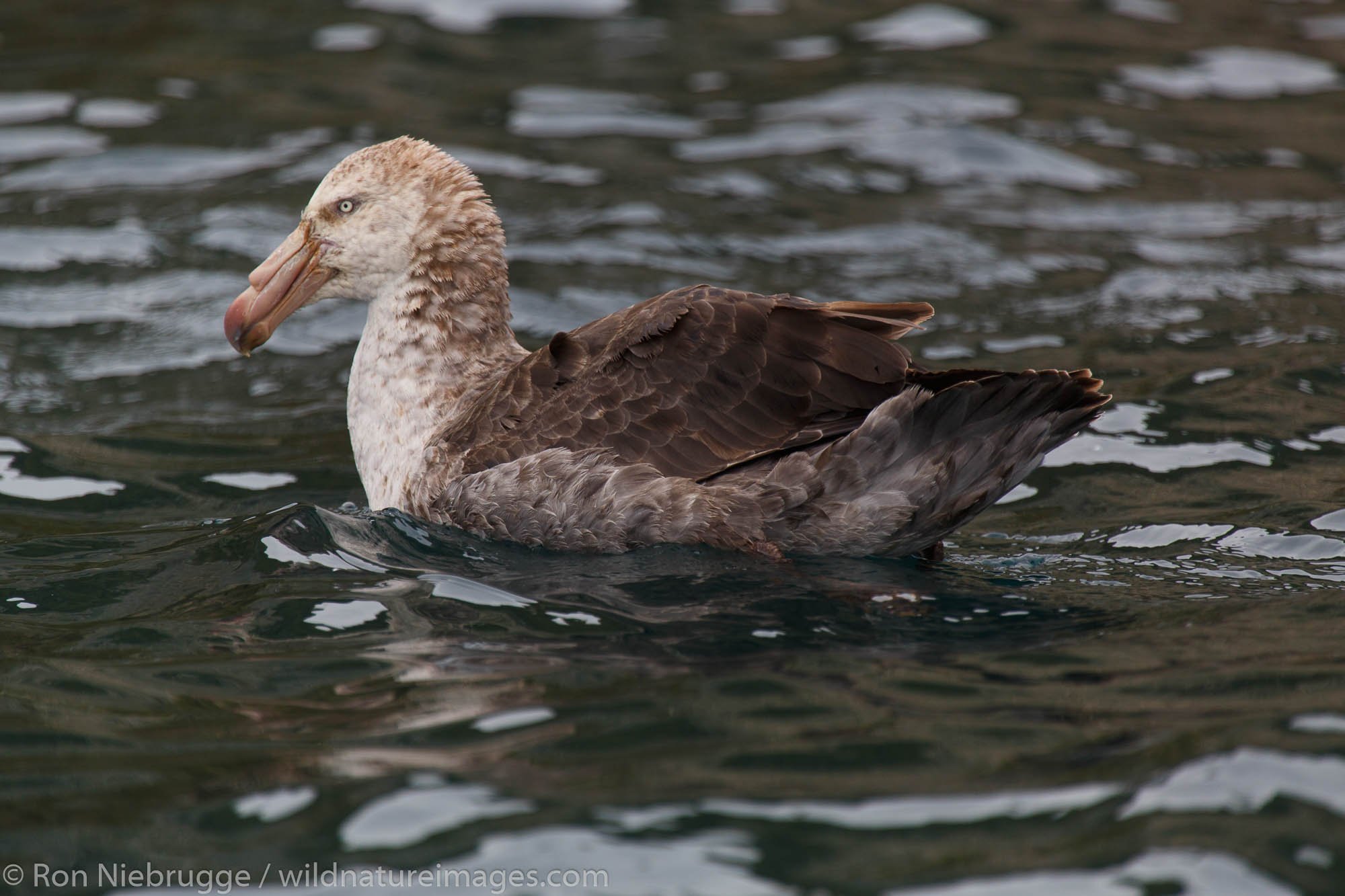 Giant Petrel, Cooper Bay, South Georgia, Antarctica.
