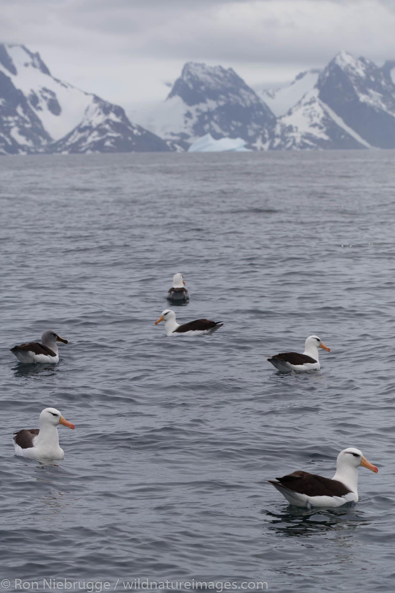 Black-browed albatross (Thalassarche melanophrys), Cooper Bay, South Georgia, Antarctica.