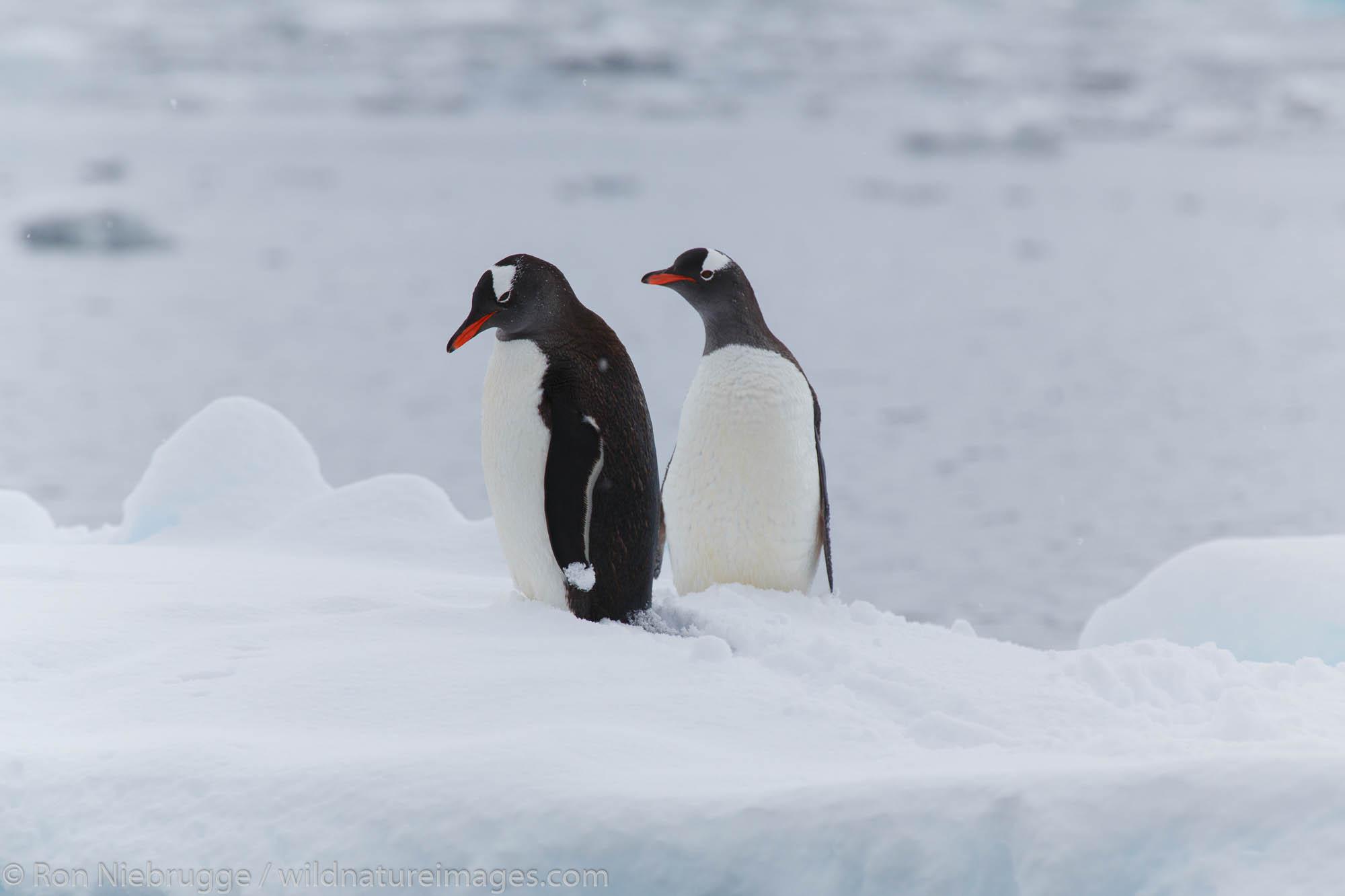 Gentoo penguins (Pygoscelis papua), Cierva Cove, Antarctica.