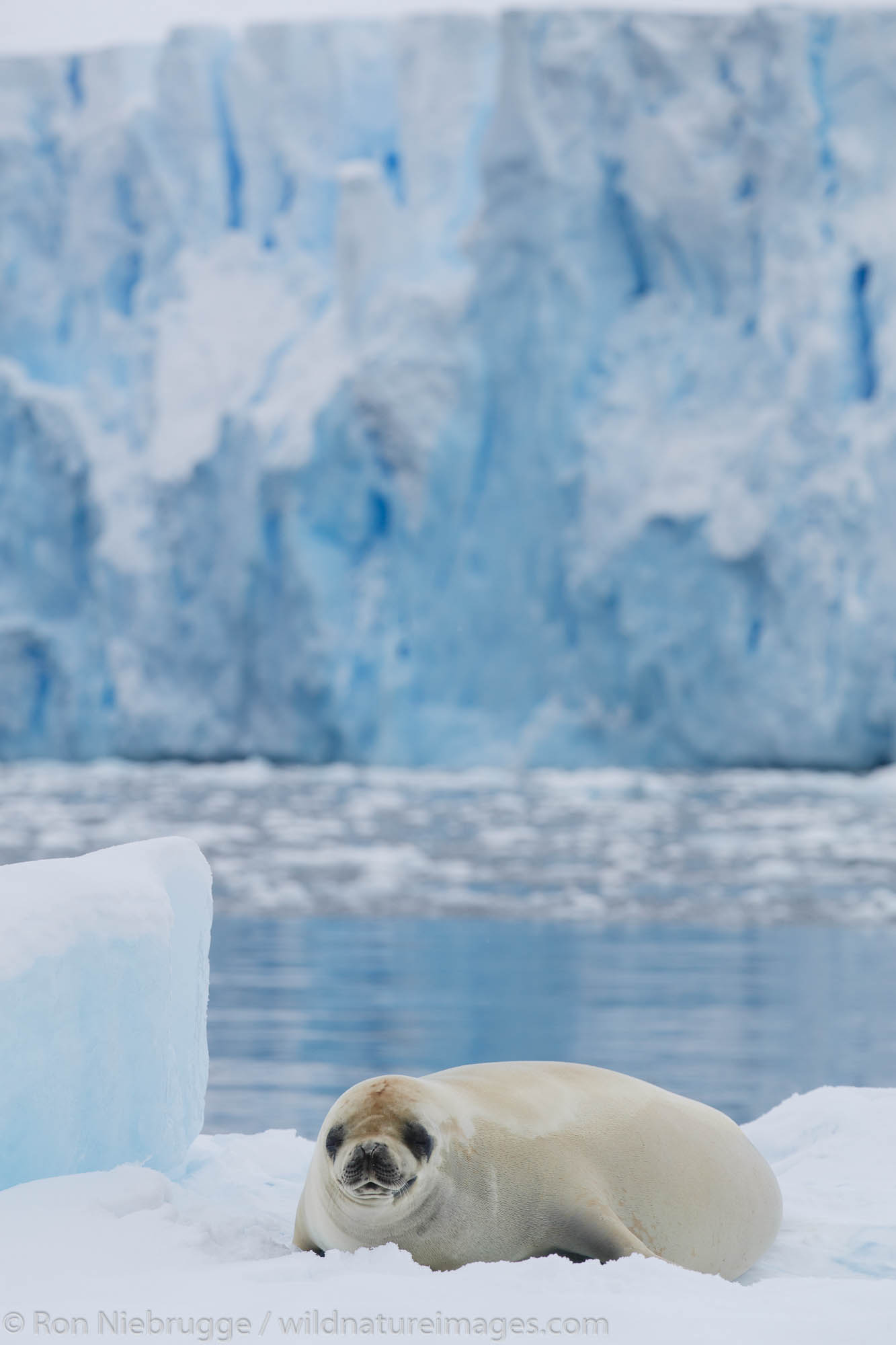 Crabeater seal (Lobodon carcinophaga or carcinophagus), Cierva Cove, Antarctica.