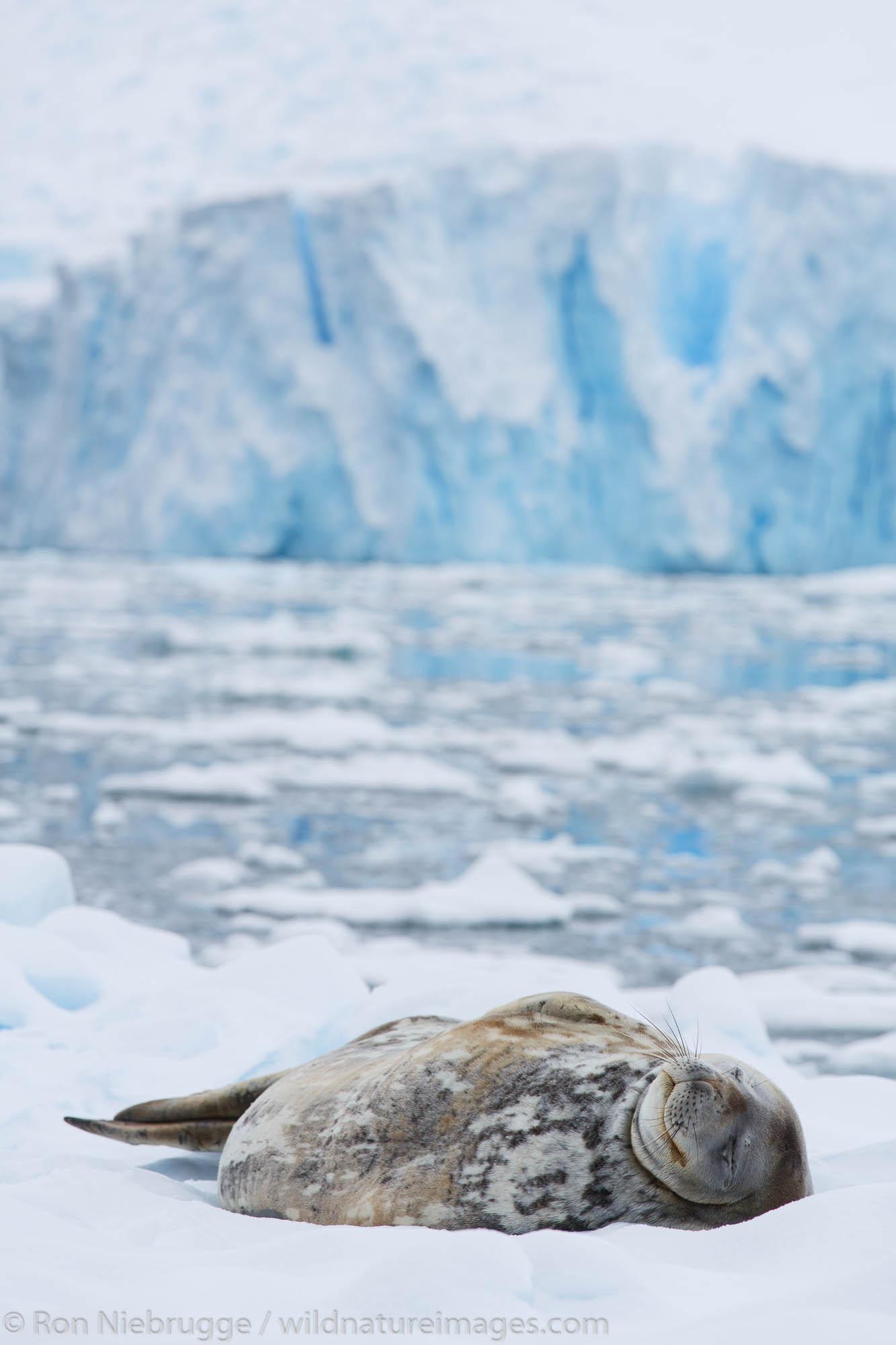 Weddell seal, (Leptonychotes weddellii), Cierva Cove, Antarctica.