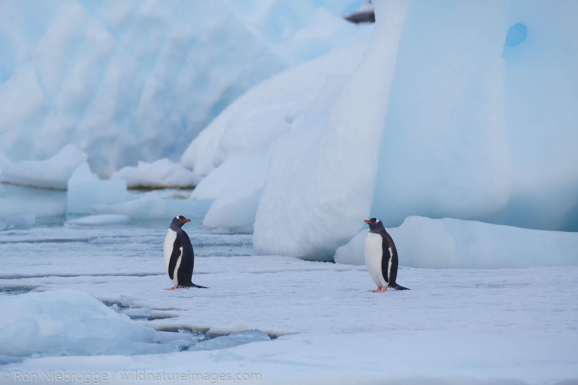 Gentoo penguins (Pygoscelis papua) near Petermann Island, Antarctica.