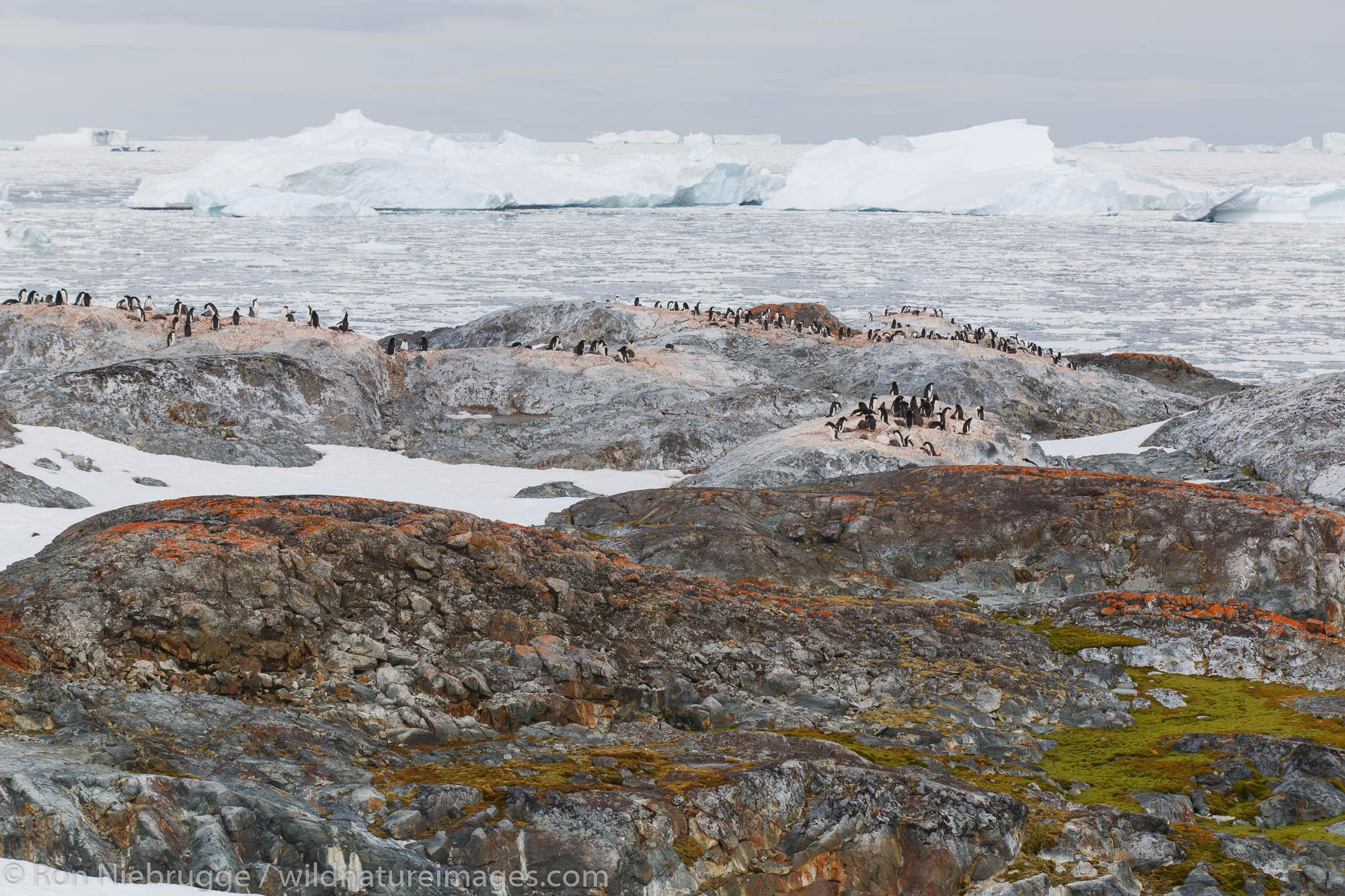 Adélie penguin (Pygoscelis adeliae) colony on Yalour Island, Antarctica.