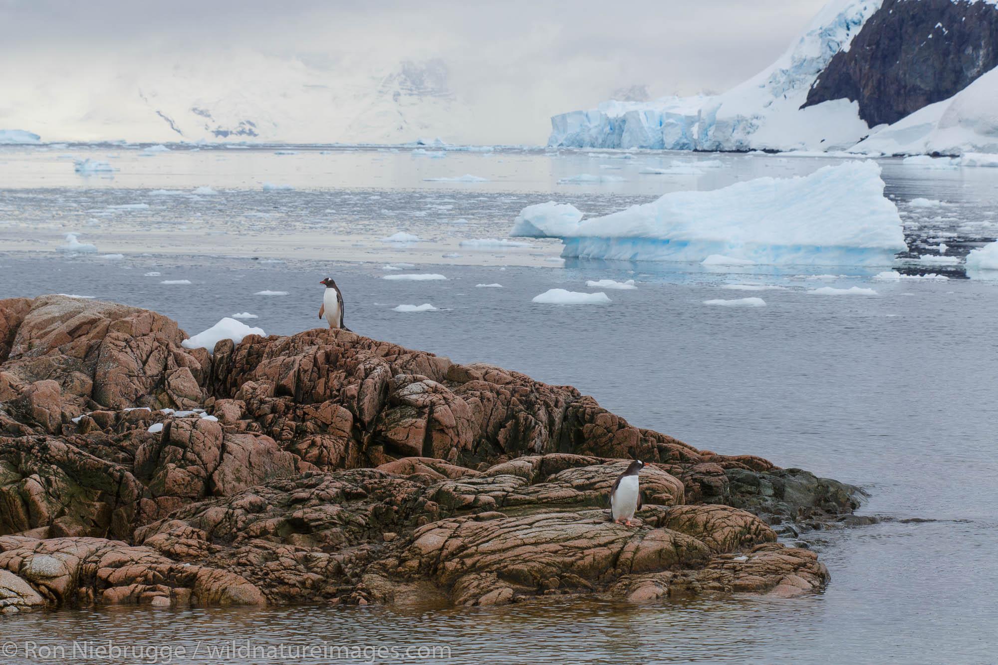 Gentoo penguin (Pygoscelis papua), Neko Harbour, Antarctica.