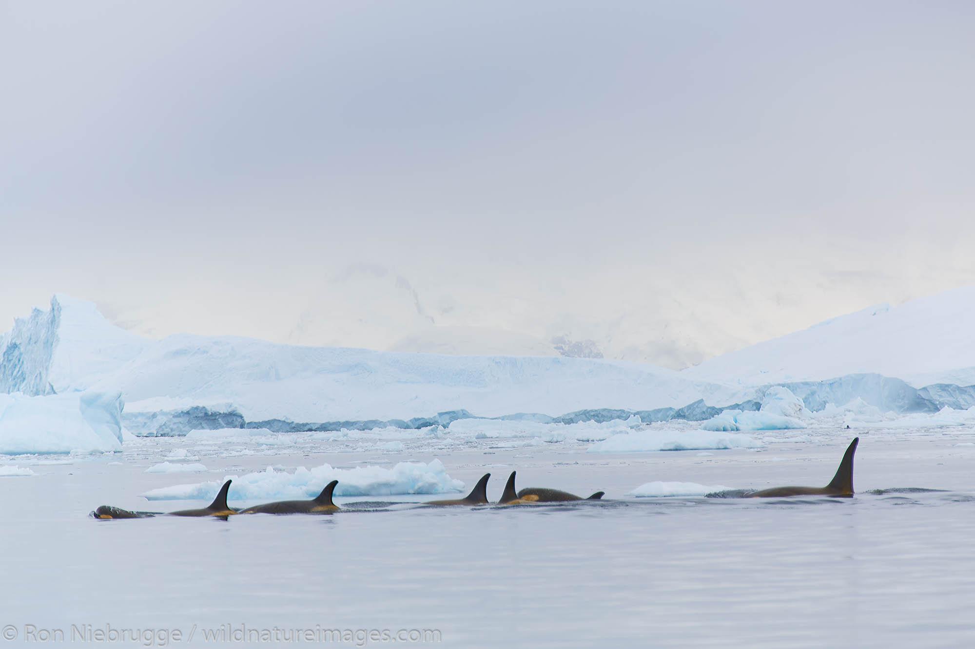 Killer whales, Neko Harbour, Antarctica.