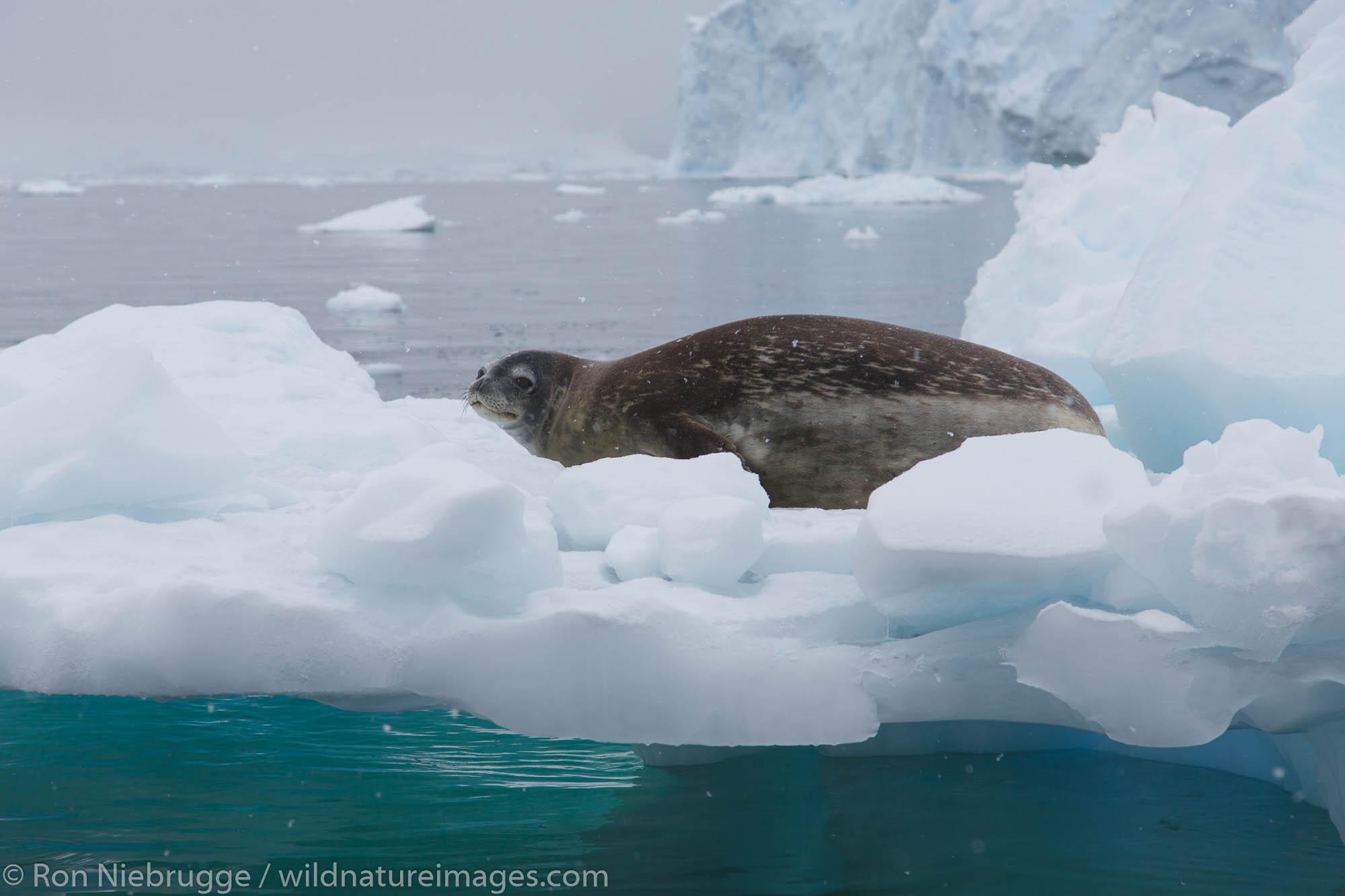 Weddell seal, (Leptonychotes weddellii),Neko Harbour, Antarctica.