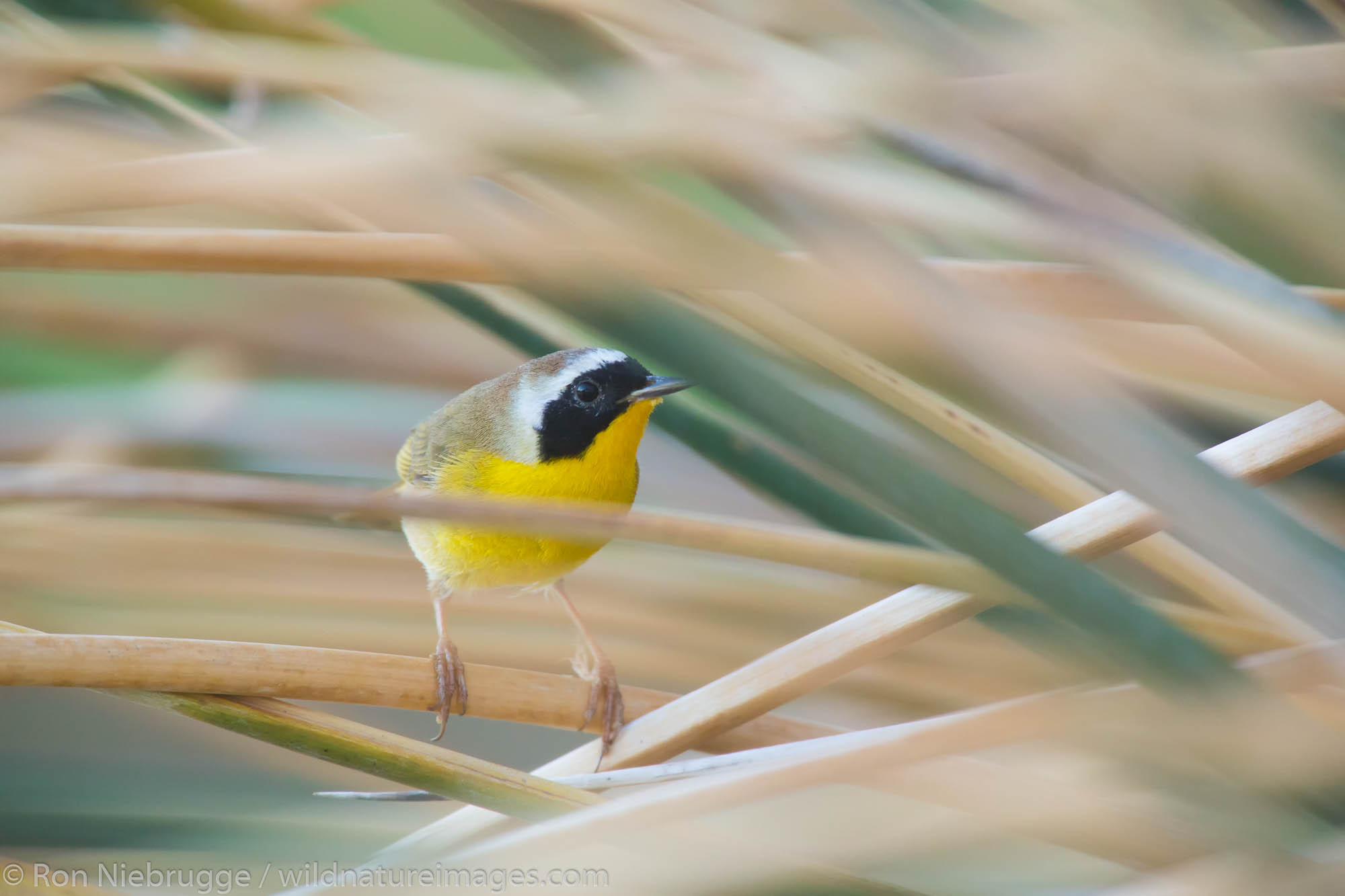 Common Yellowthroat (Geothlypis trichas), Borrego Springs, California.