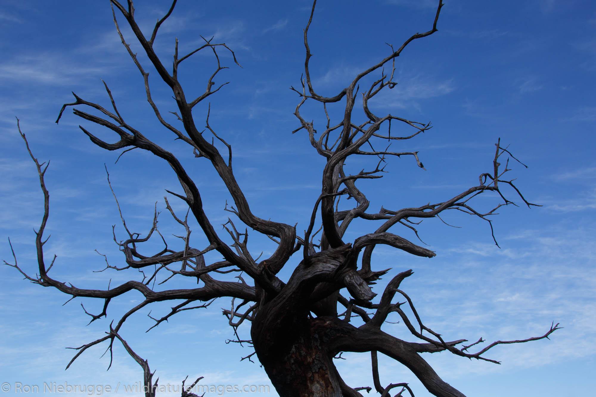 Dead tree, Anza-Borrego Desert State Park, California.