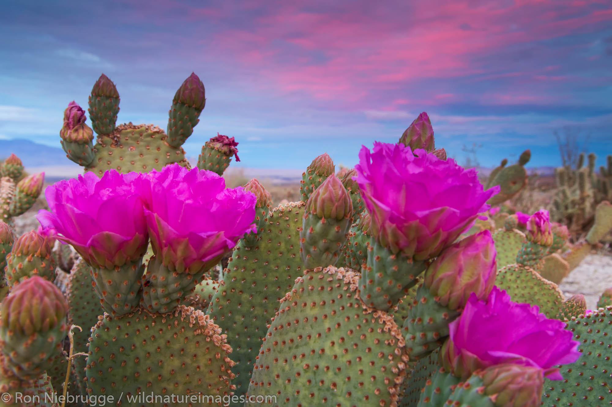 Beavertail Cactus in bloom, Anza-Borrego Desert State Park, California.
