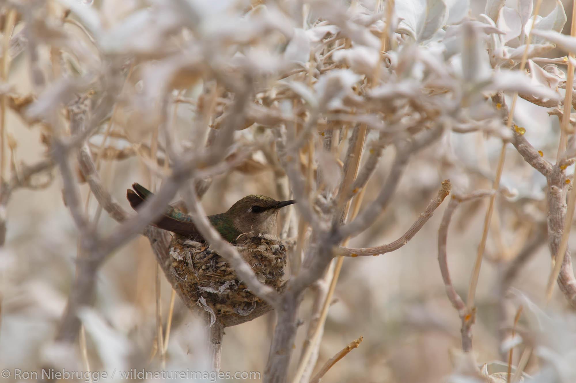 Hummingbird nest, Anza-Borrego Desert State Park, California.
