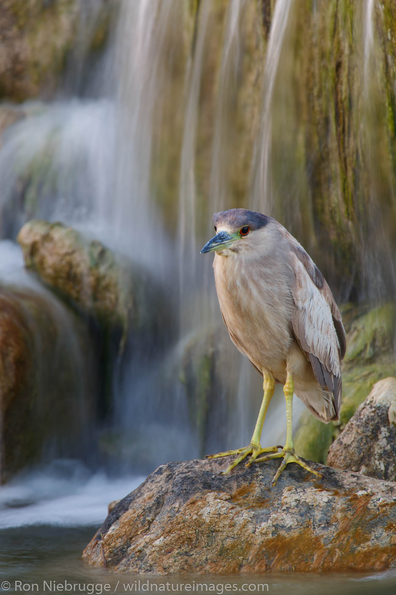black-crowned night heron (Nycticorax nycticorax), Borrego Springs, California.