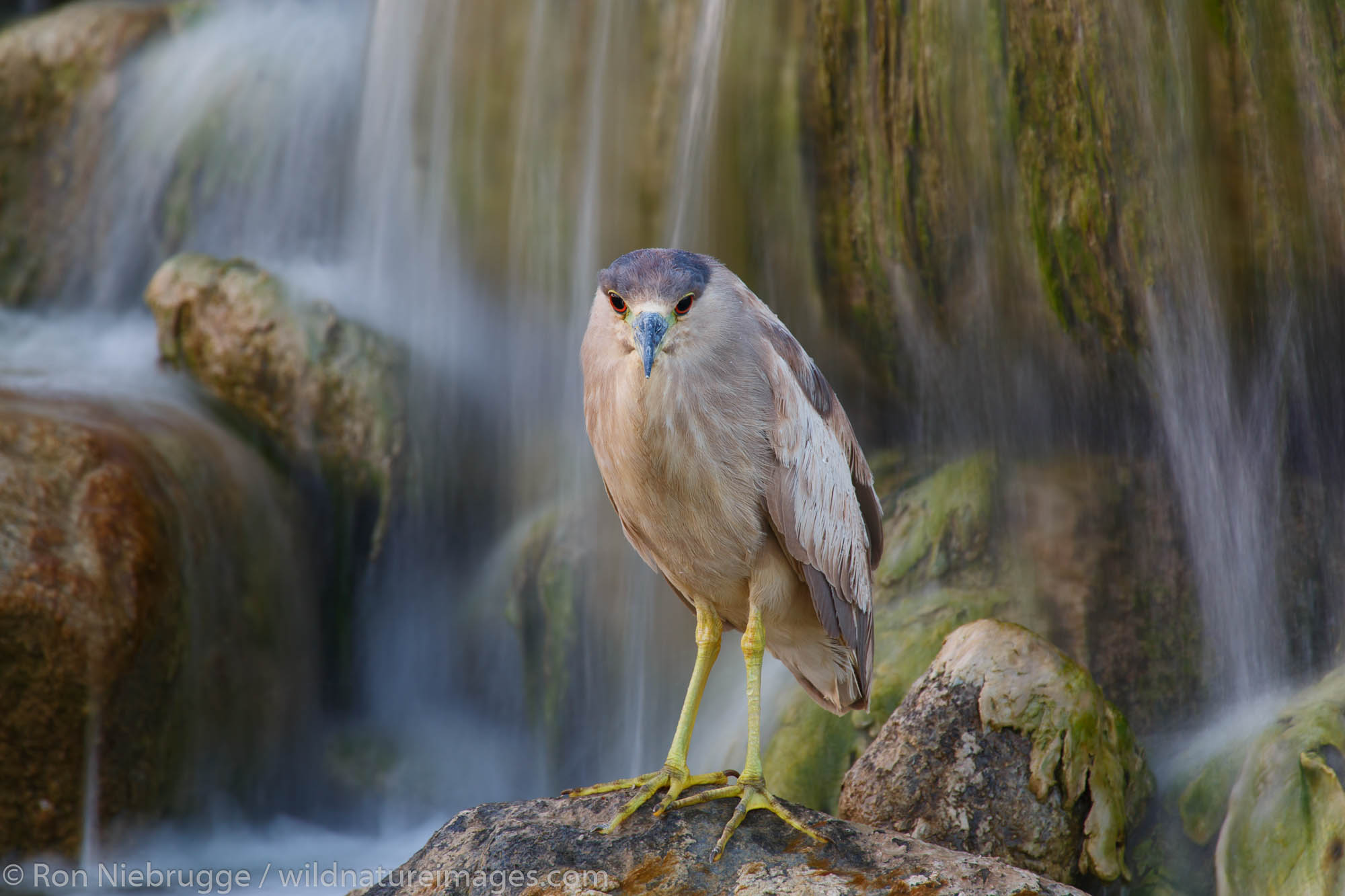 black-crowned night heron (Nycticorax nycticorax), Borrego Springs, California.