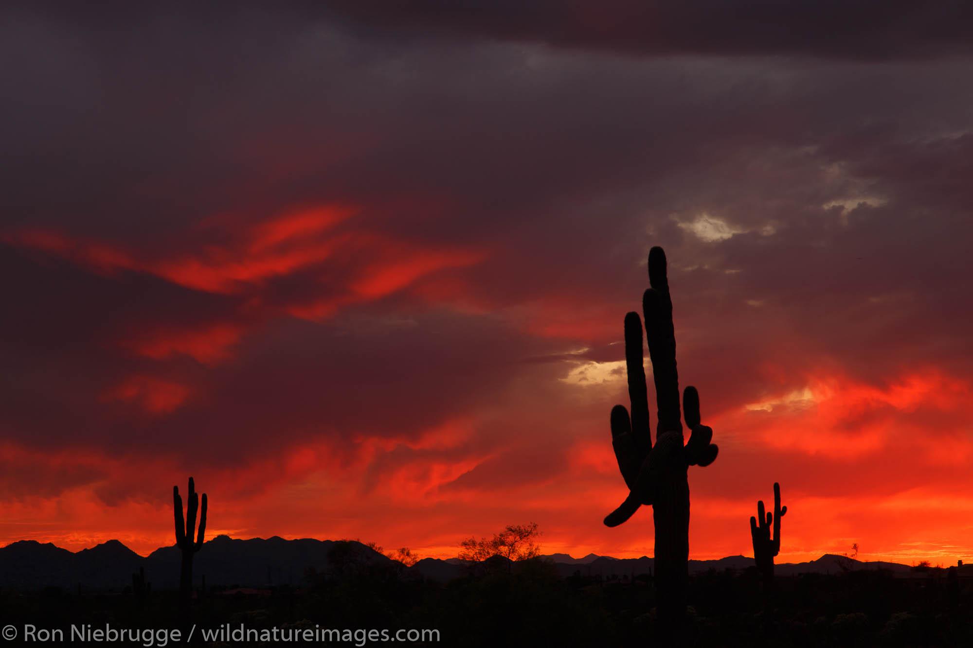 Saguaro cactus at sunset, Scottsdale, Arizona.