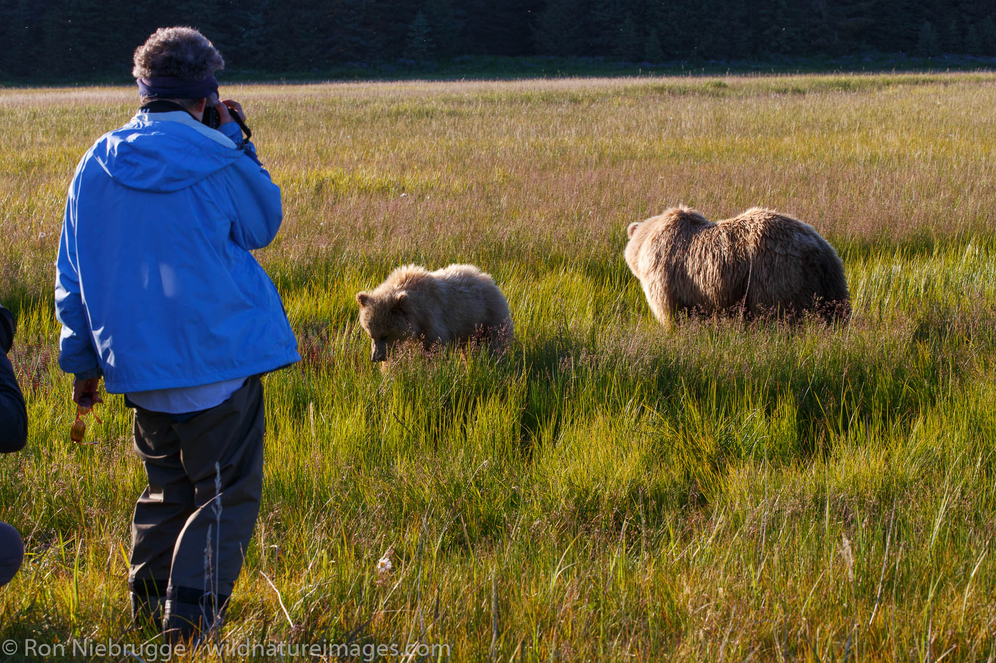 Visitors photograph Brown / Grizzly Bear, Lake Clark National Park, Alaska.
