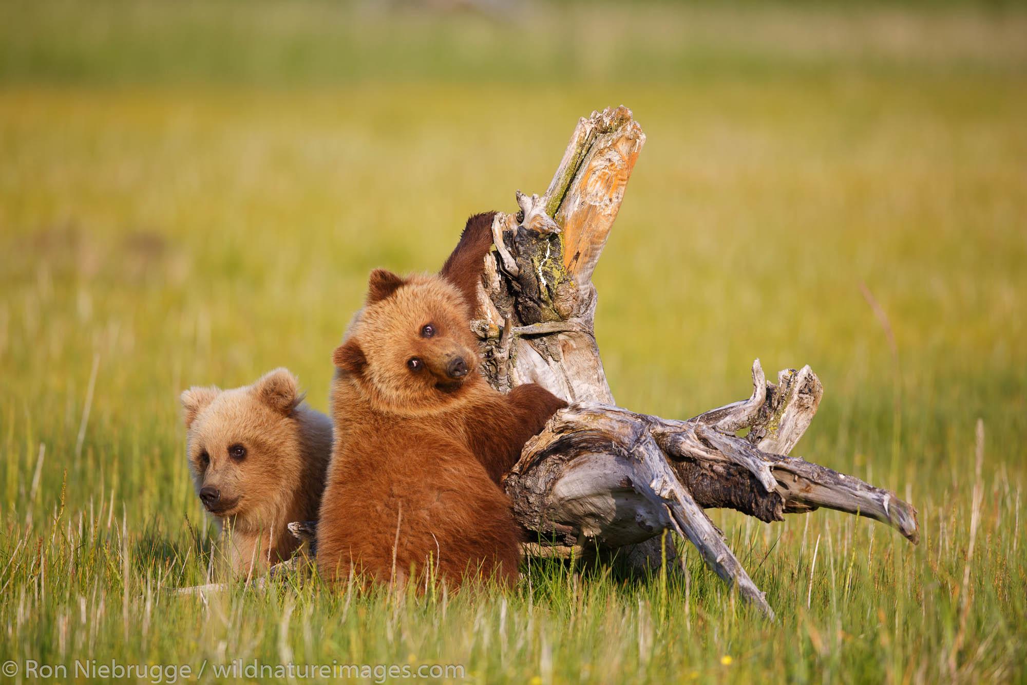 Brown / Grizzly Bear, Lake Clark National Park, Alaska