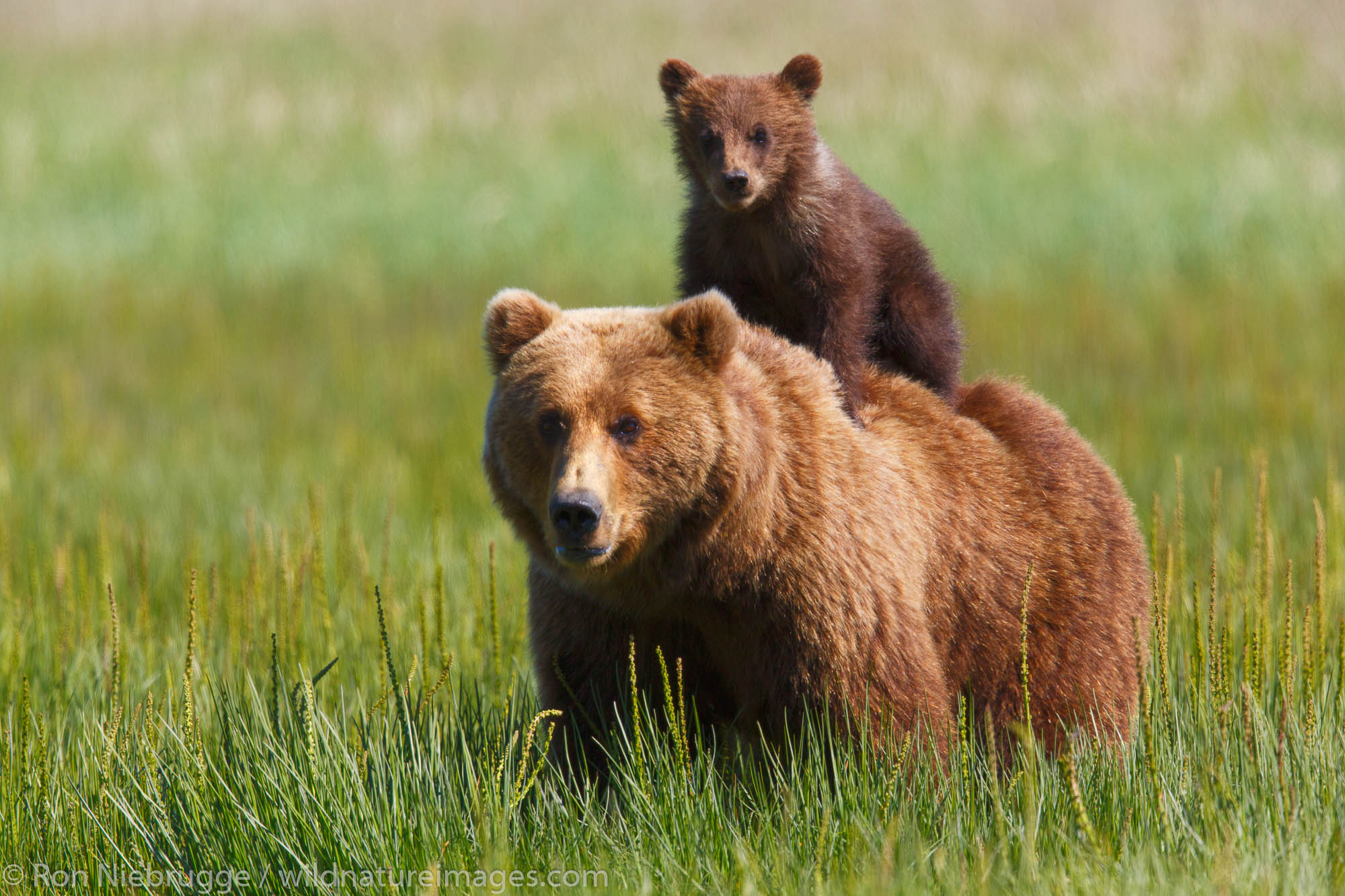 Brown / Grizzly Bear, Lake Clark National Park, Alaska