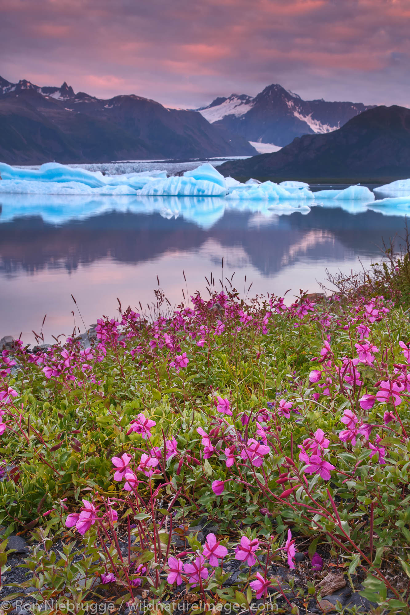 Fields of fireweed at sunrise, Bear Glacier Lagoon, Kenai Fjords National Park, near Seward, Alaska