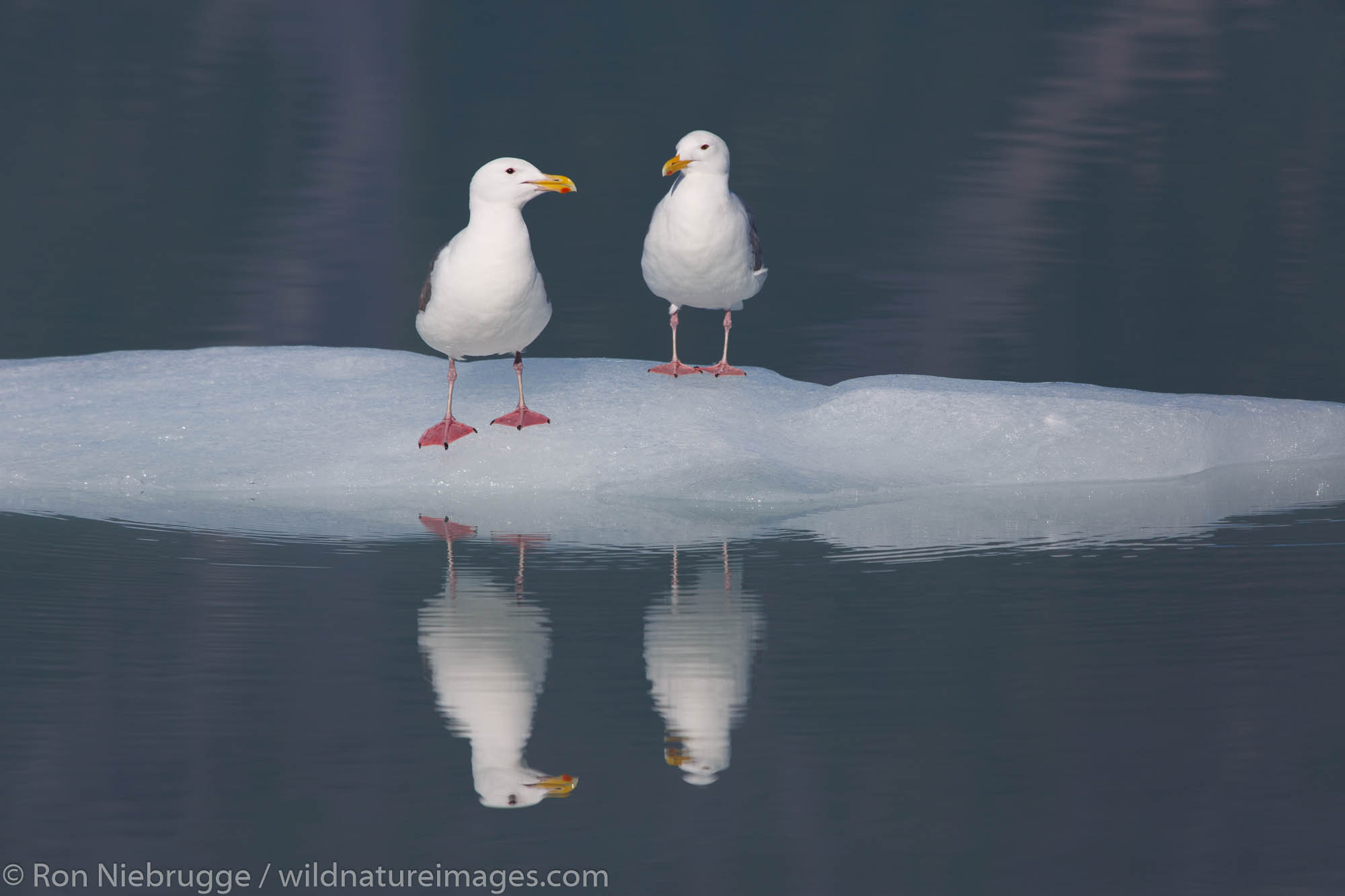 Herring Gull (Larus argentatus), Bear Glacier Lagoon, Kenai Fjords National Park, near Seward, Alaska.