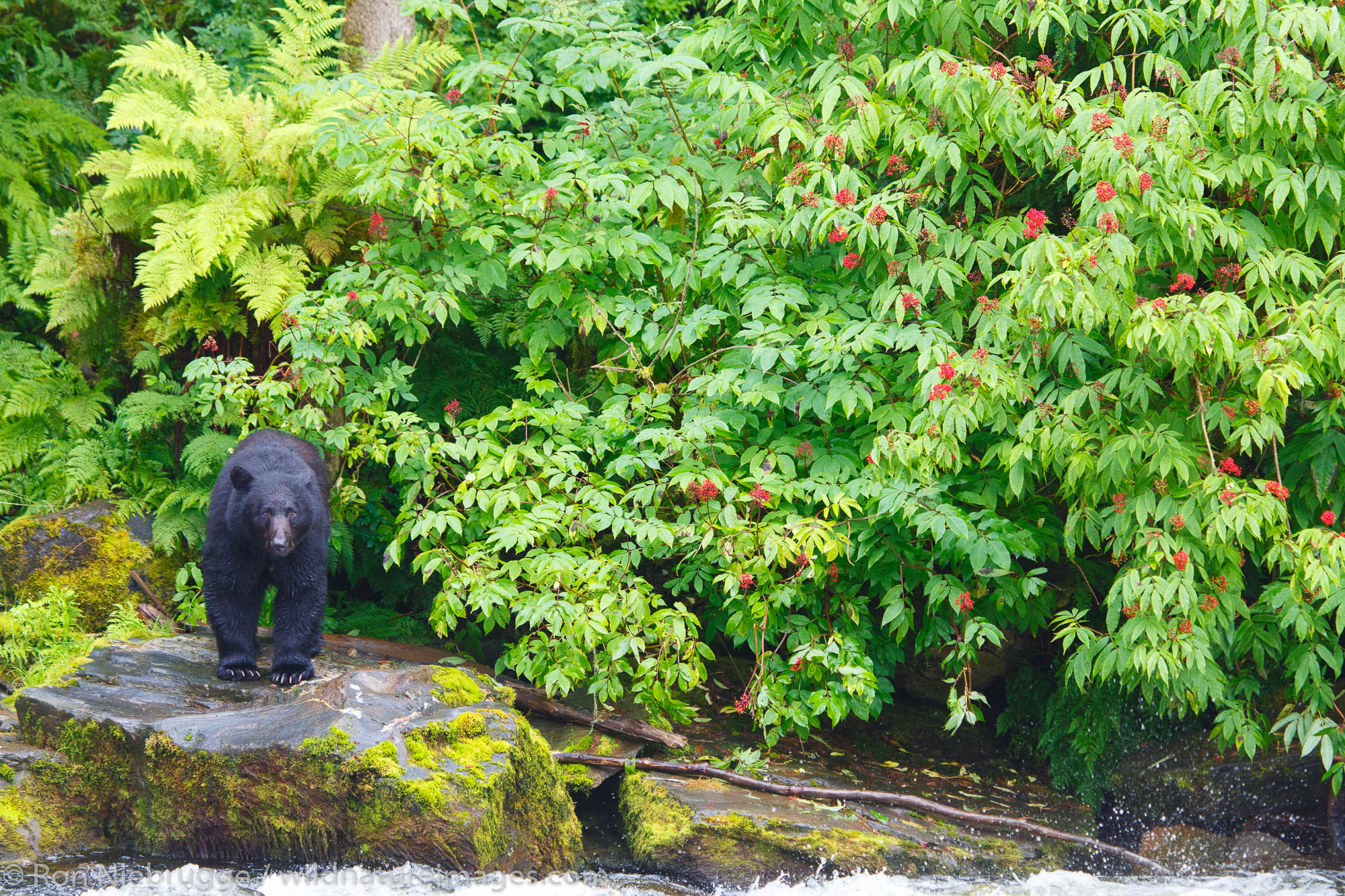Black bears at the Neets Bay Hatchery,Tongass National Forest, near Ketchikan, Alaska.