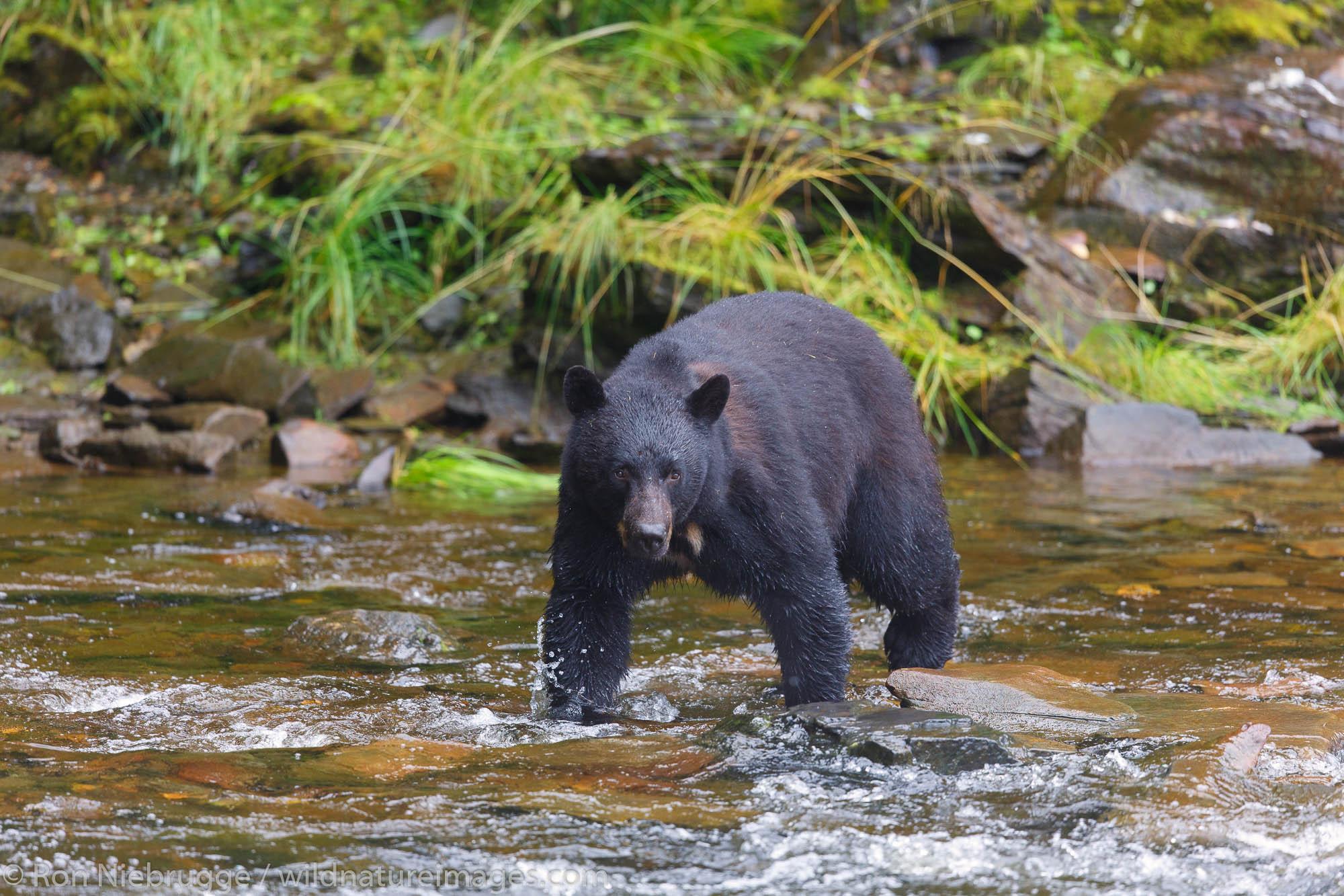Black bears at the Neets Bay Hatchery,Tongass National Forest, near Ketchikan, Alaska.