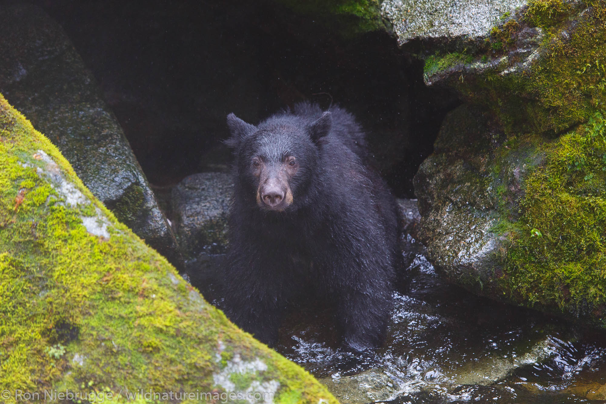 Tongass National Forest, Inside Passage, Alaska, black bear, anan, bear, photos, photo