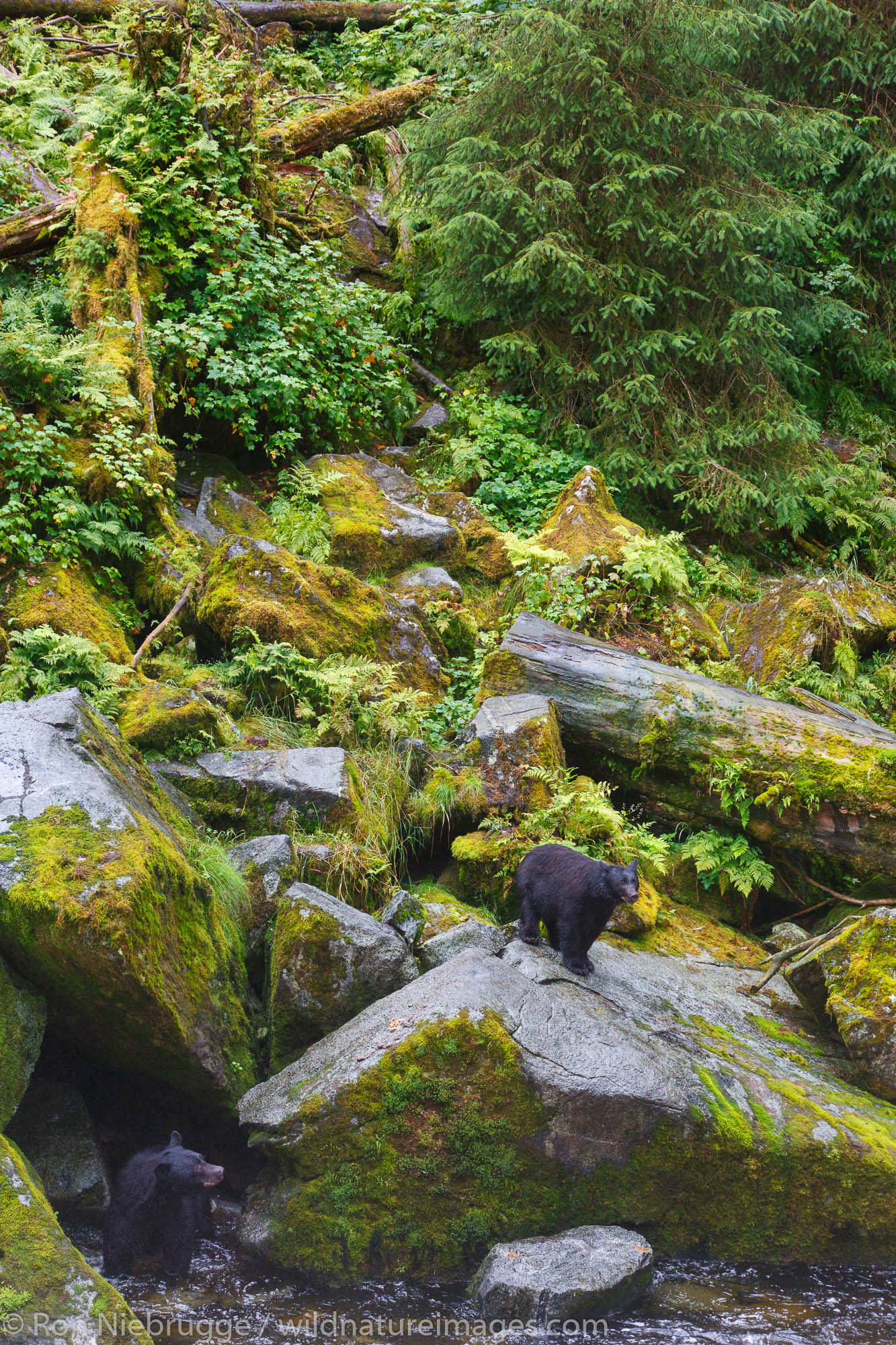 Black bears at the Anan Wildlife Observatory, Tongass National Forest, Alaska.