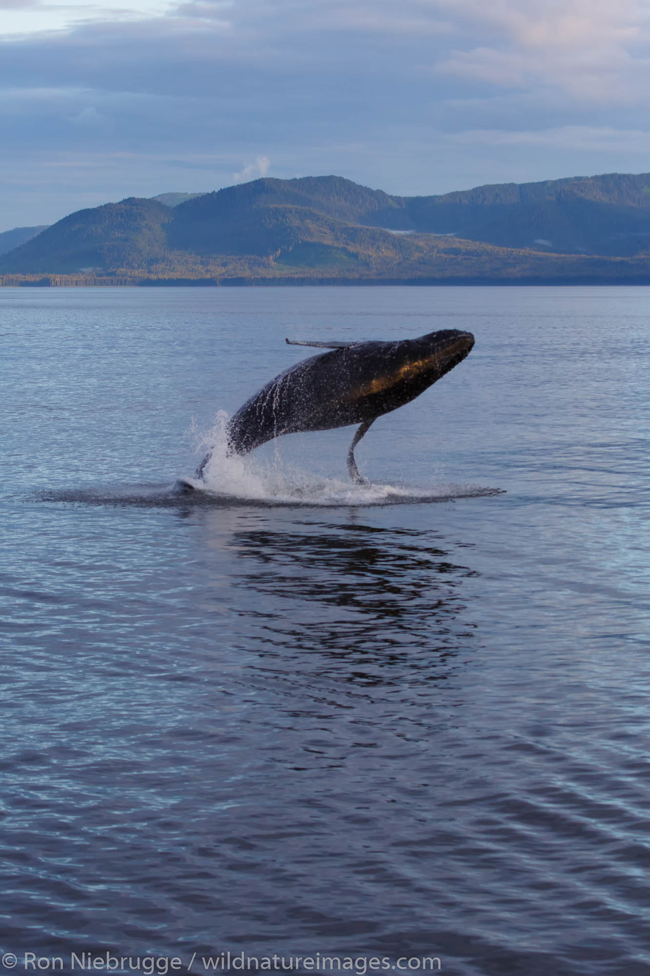 Tongass National Forest, Inside Passage, Alaska, humpback whale, whales, photo