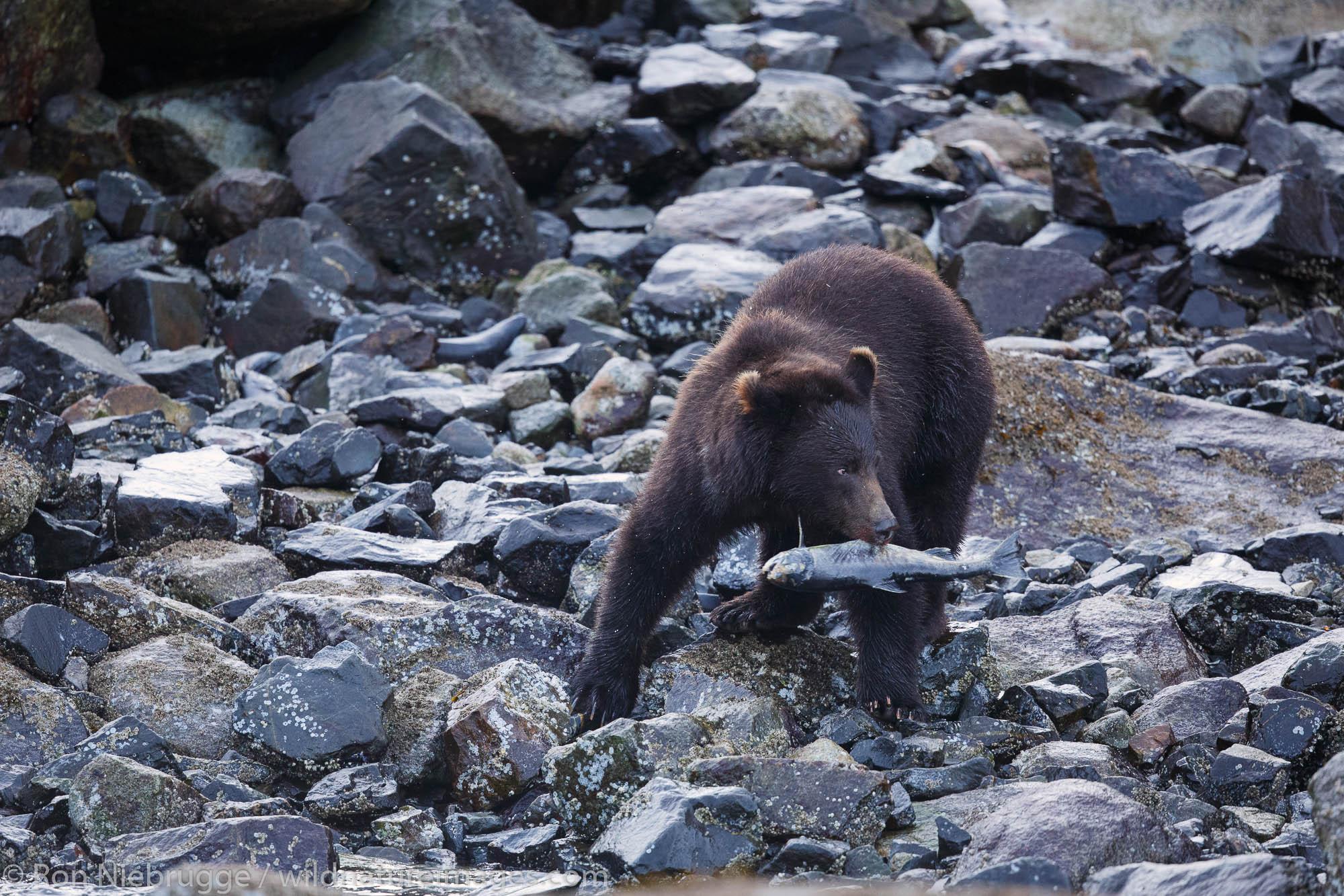 Brown bears feed on salmon, Baranof Island, Tongass National Forest, Alaska