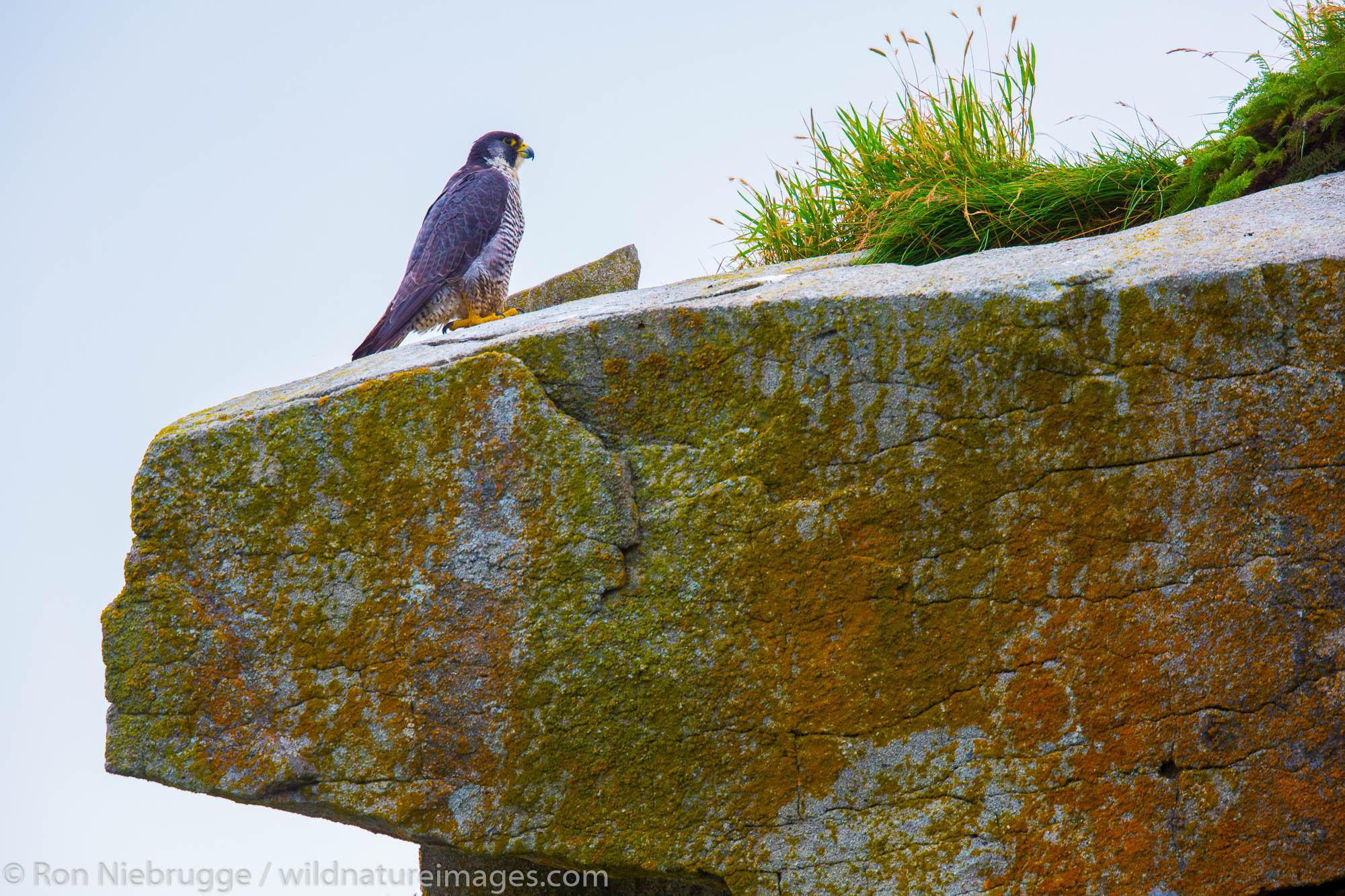 Peregrine falcon (Falco peregrinus), Lake Clark National Park, Alaska.