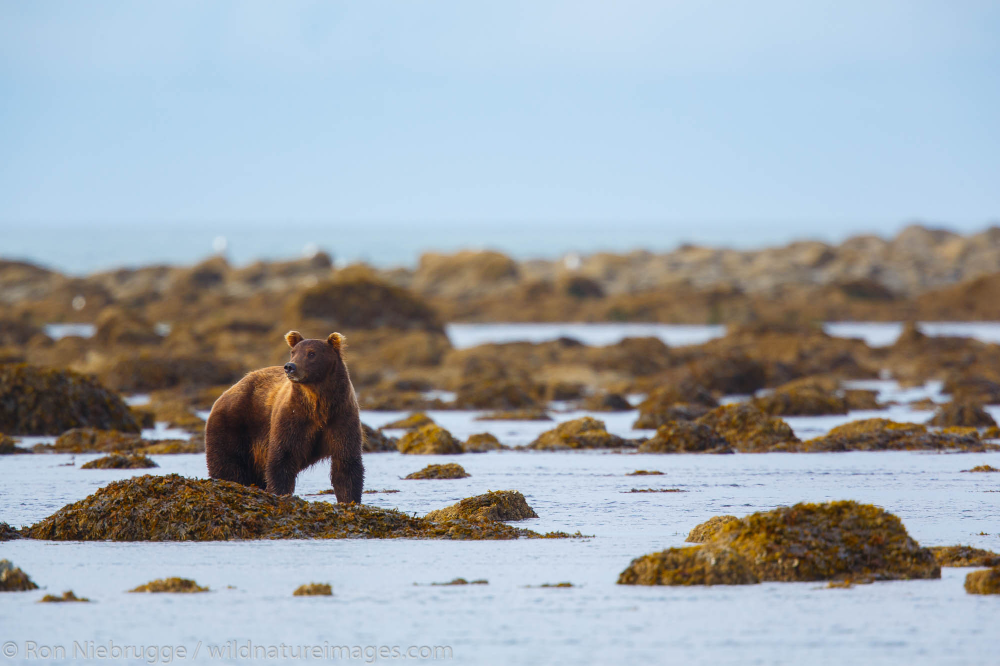 Brown / Grizzly Bear, Shelter Creek,  Lake Clark National Park, Alaska.